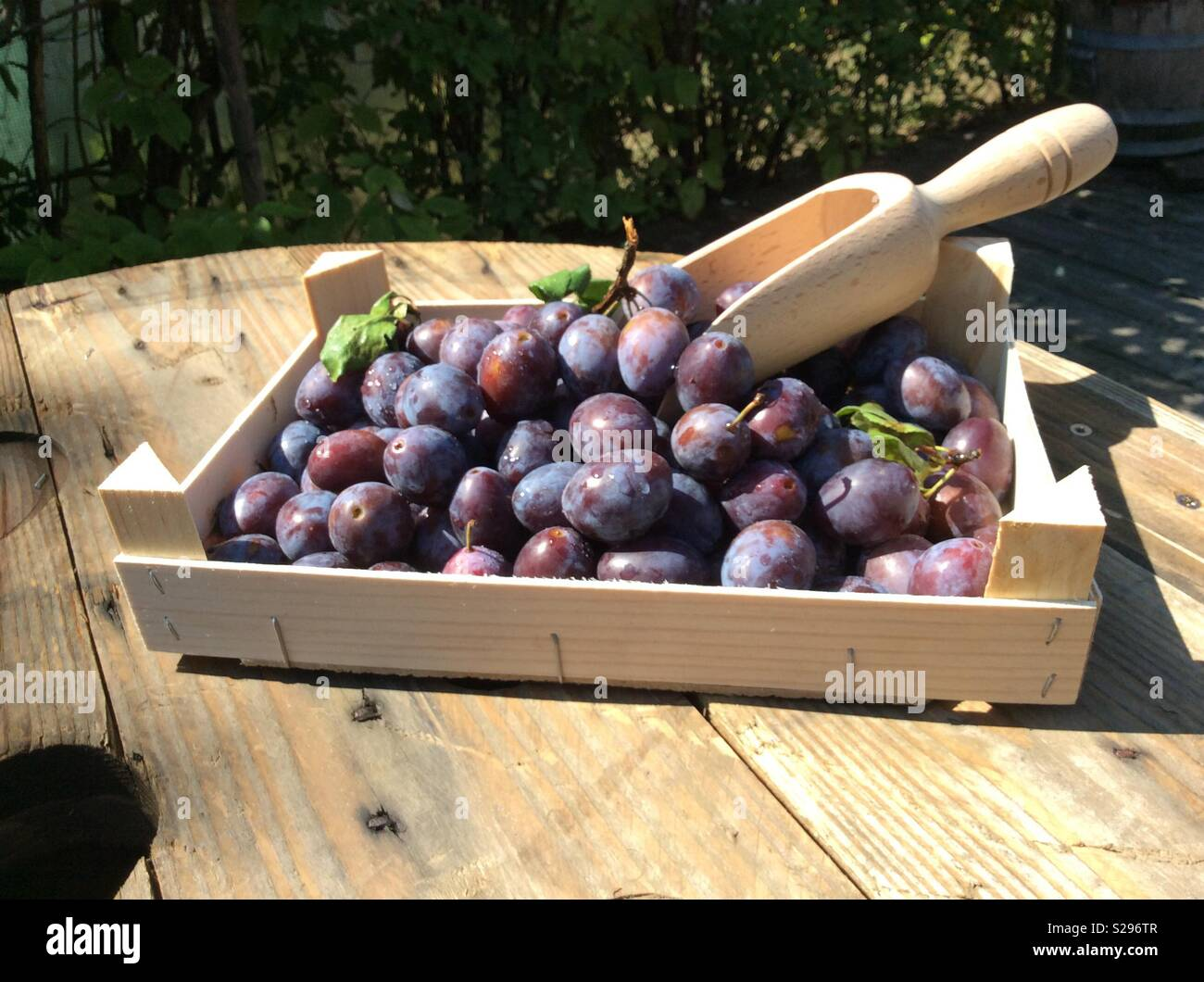 Freshly harvested plums and wooden scoop in wooden fruit crate - Stock Image