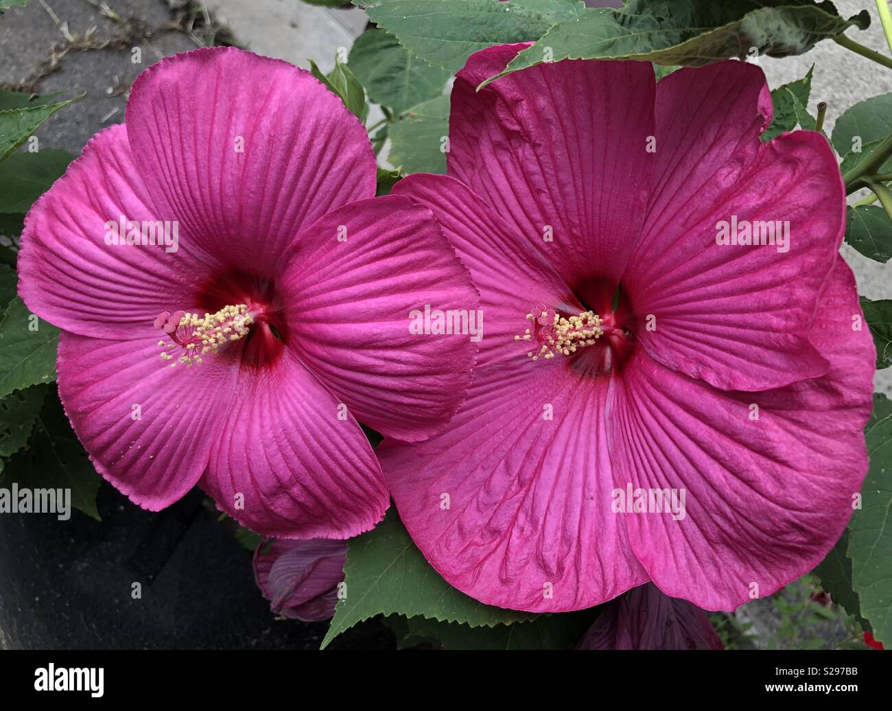 Cold Hardy Hibiscus Stock Photos Cold Hardy Hibiscus Stock Images