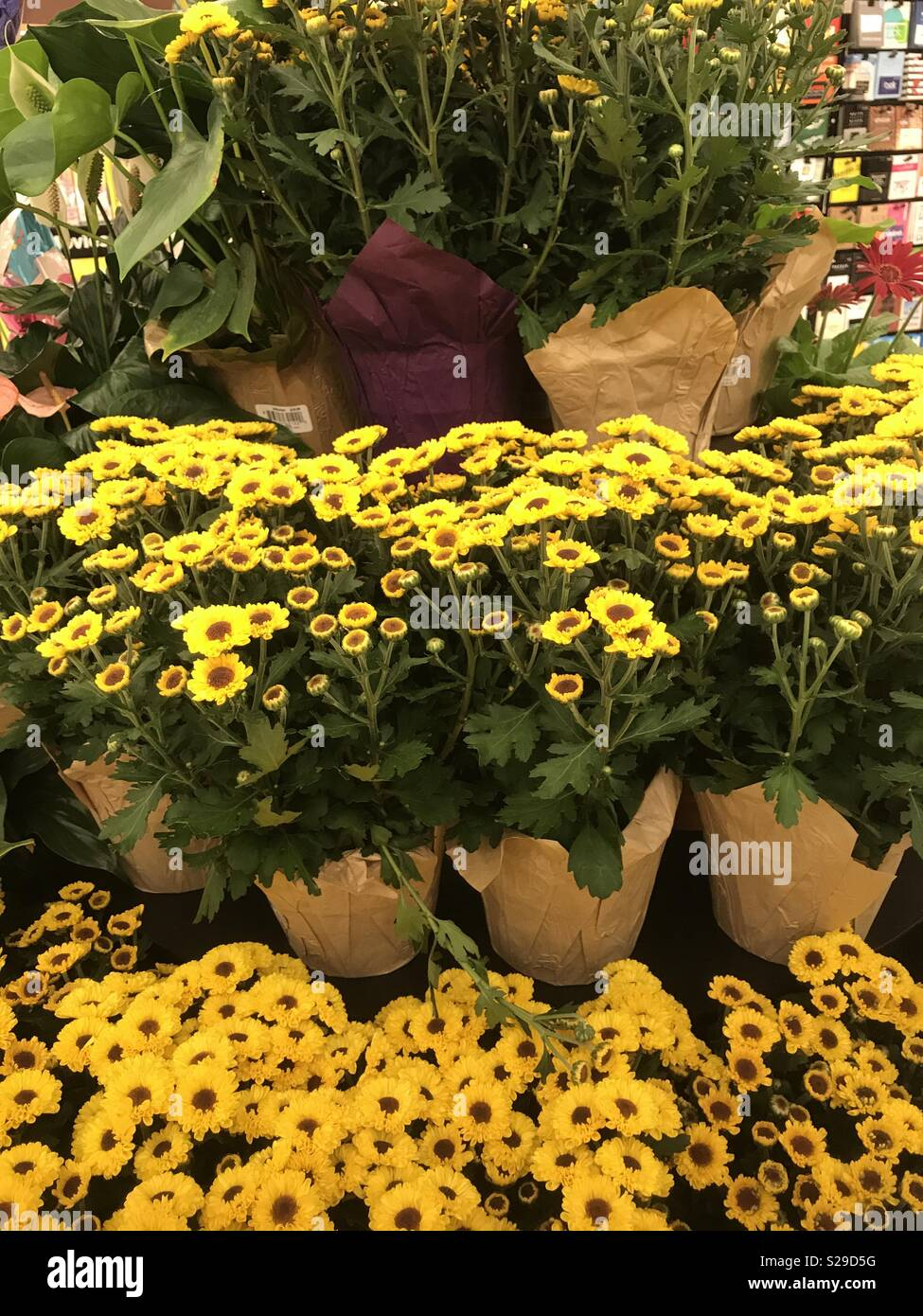 Display Of Yellow Daisies Flowers In Pots There Are Three Levels Of
