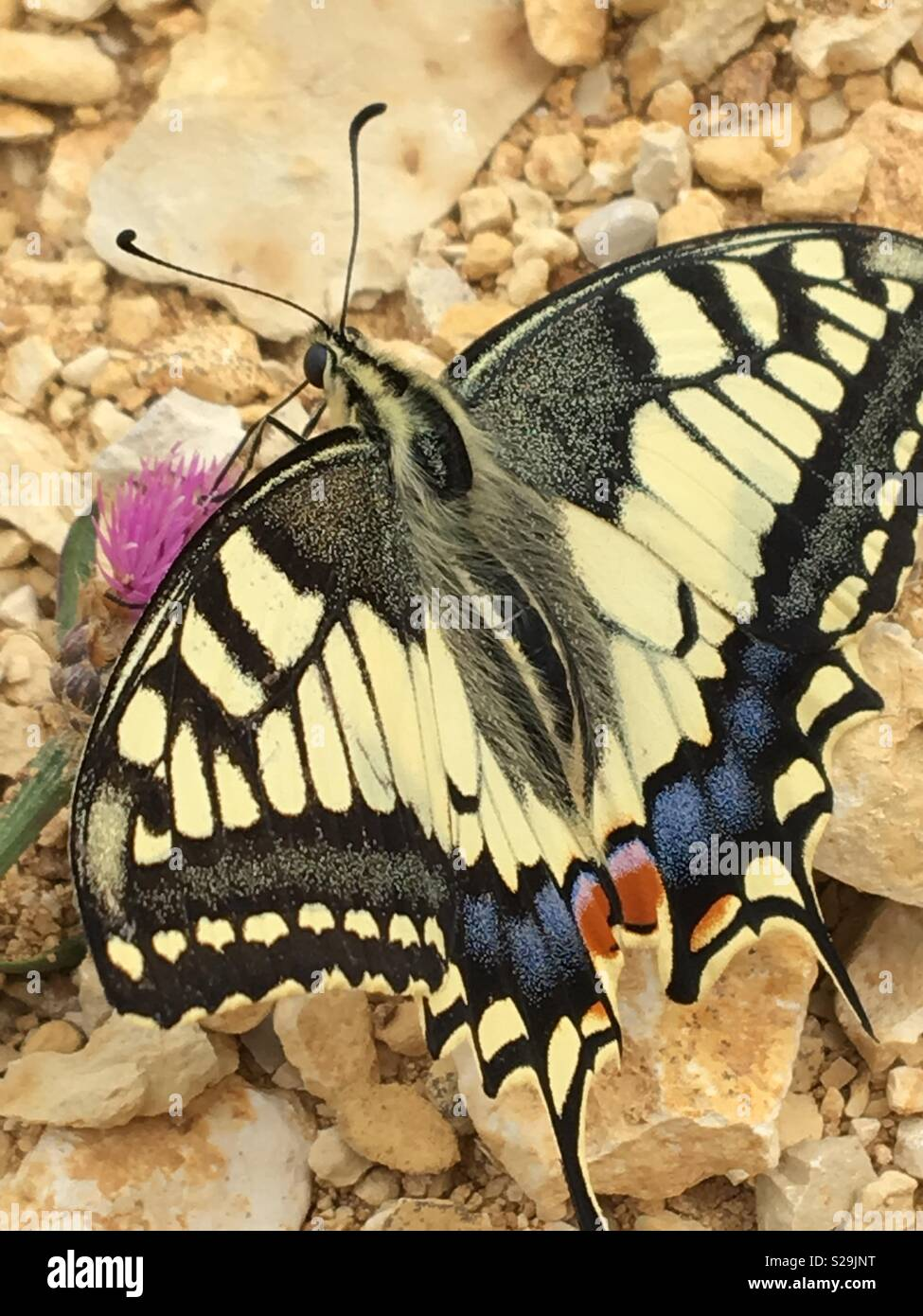 Swallowtail butterfly feeding on nectar on gravel - Stock Image