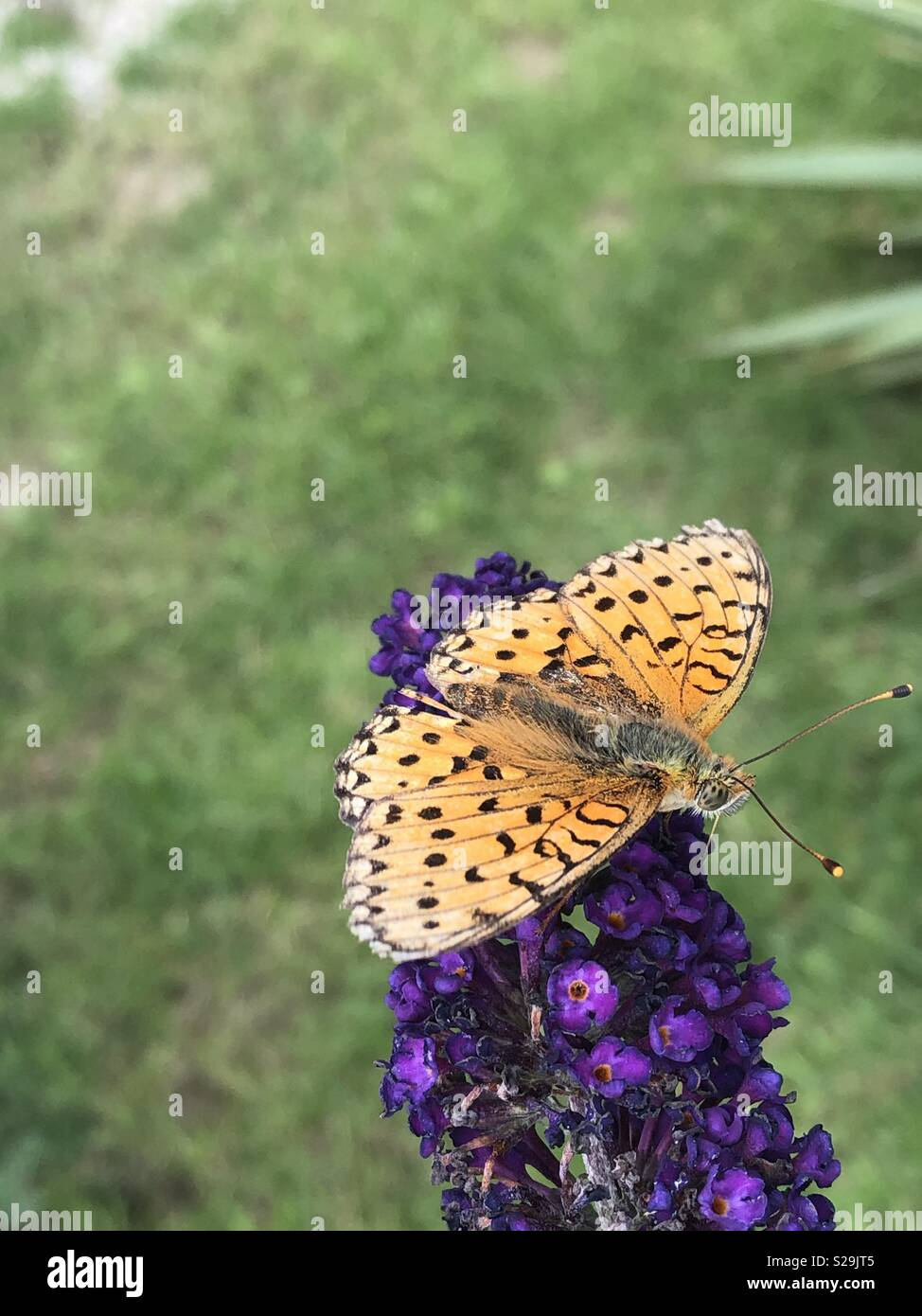 Orange color butterfly with black spot on a buddleia flowers Stock ...
