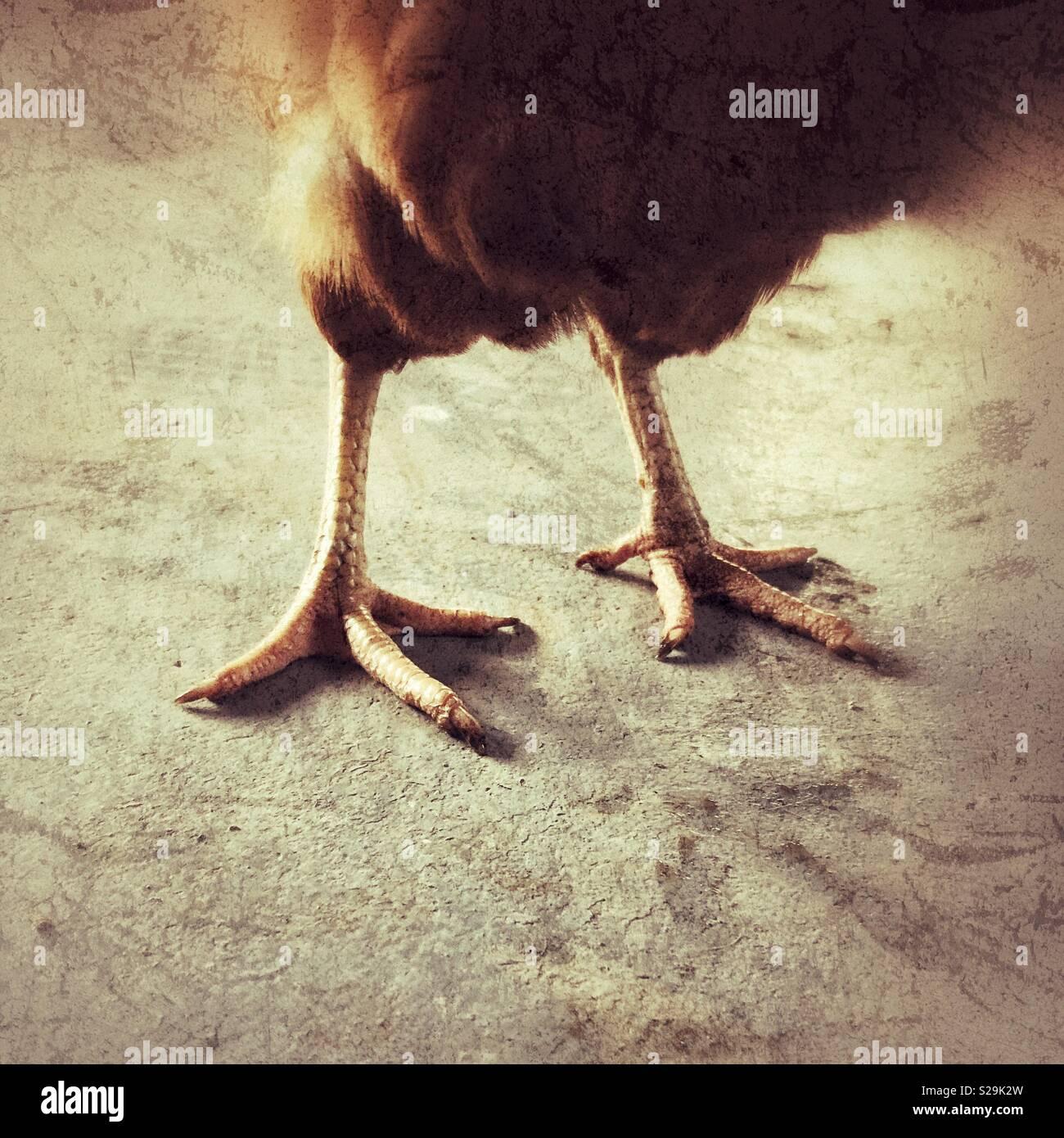 Creative closeup of chicken feet on standing live chicken - Stock Image