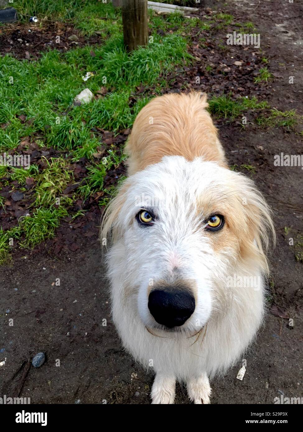 White dog whith yellow eyes looking at you - Stock Image