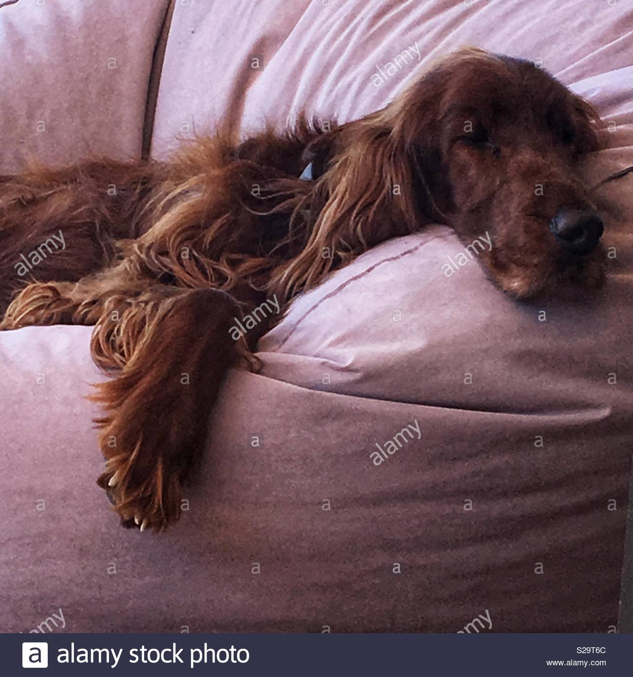 Irish setter dog sleeping on beanbag - Stock Image
