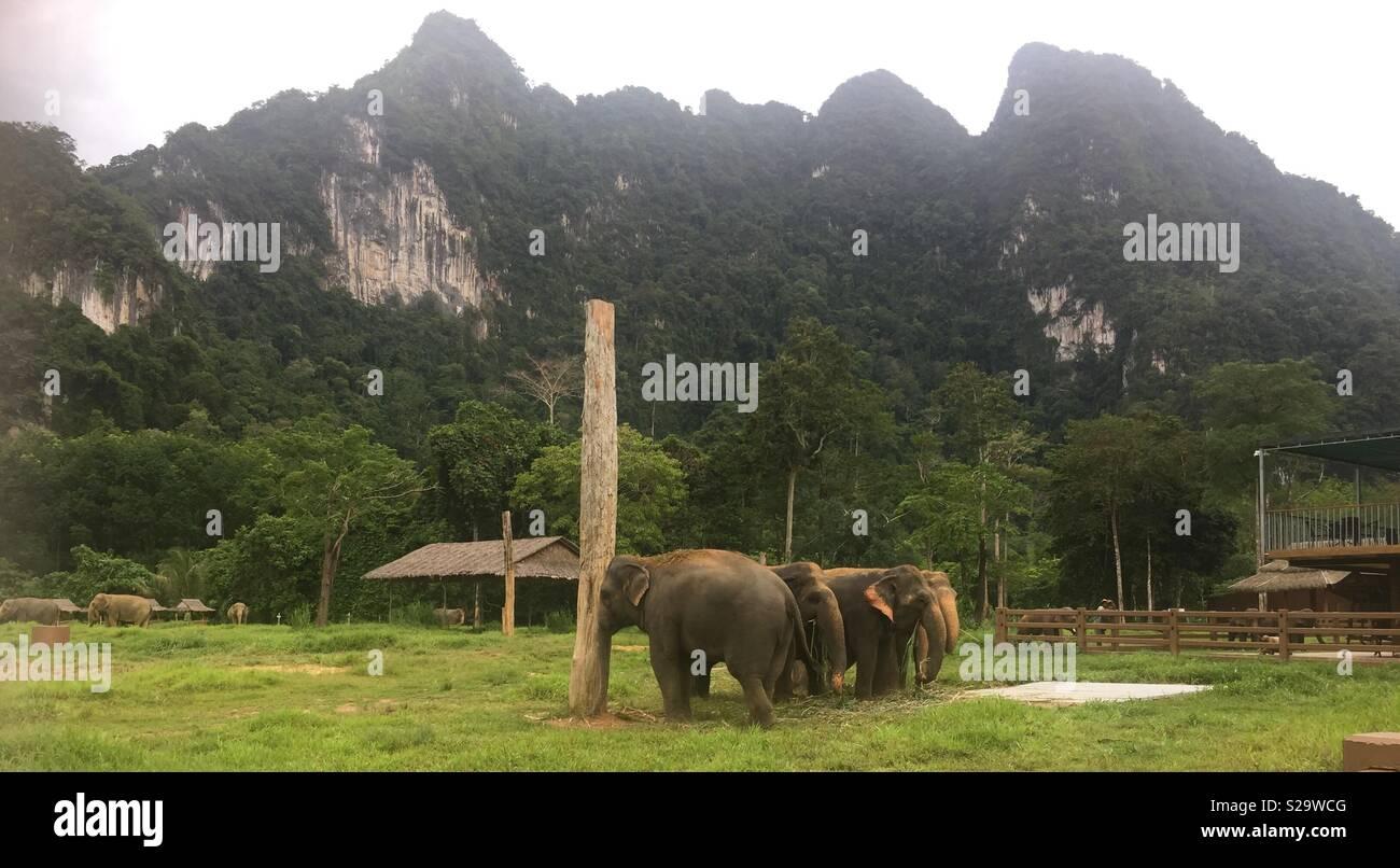 Asiatische Elephanten - Khao Sok Thailand - Stock Image