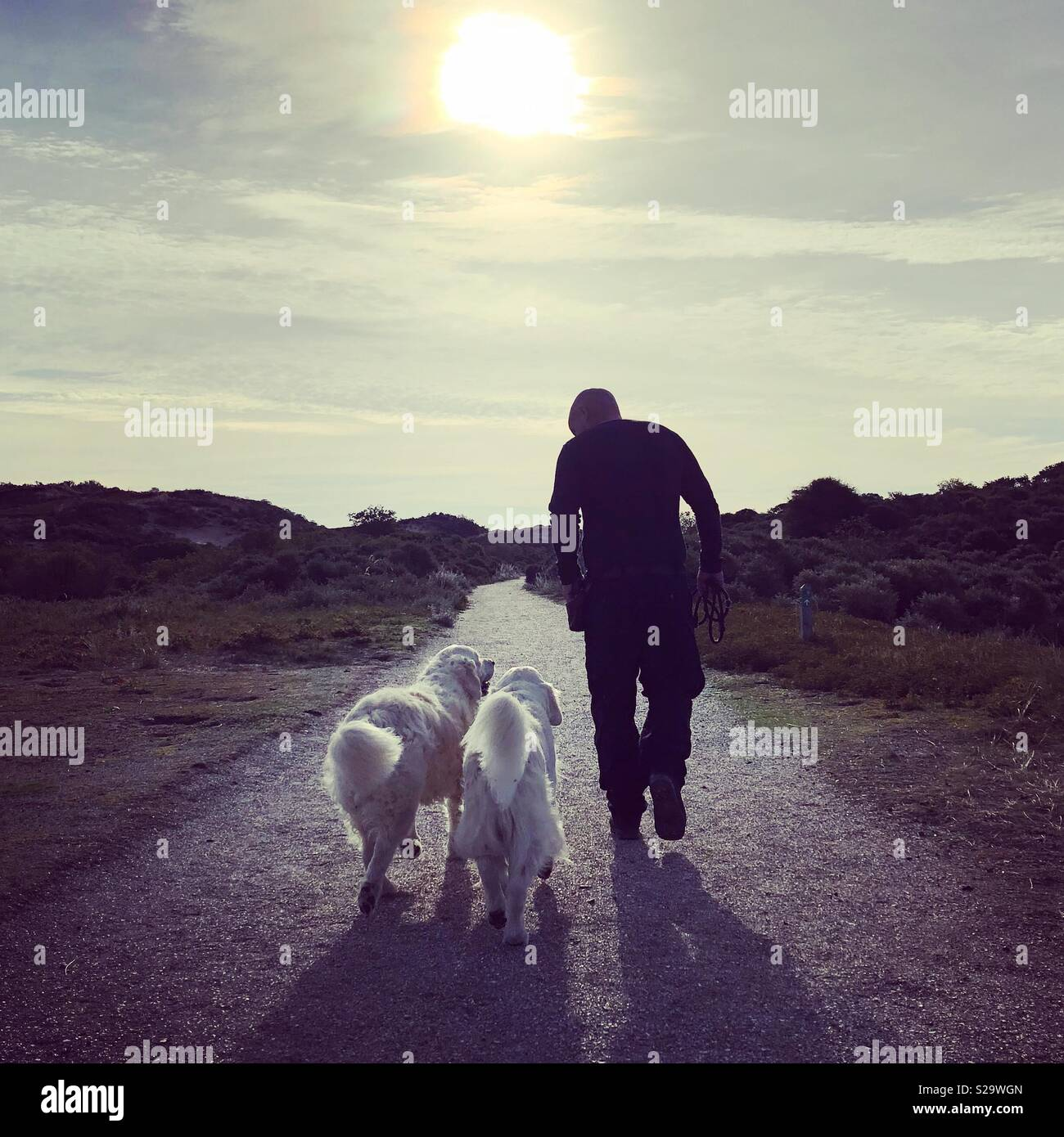 Walking with golden retrievers - Stock Image
