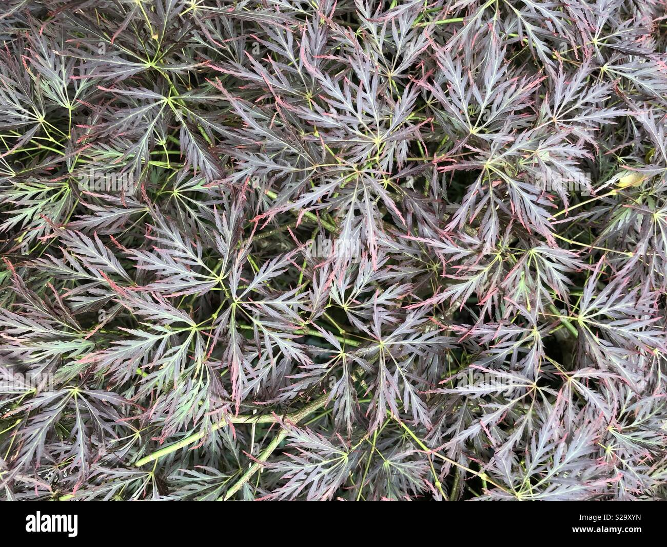 Japanese acer leaves close up - Stock Image