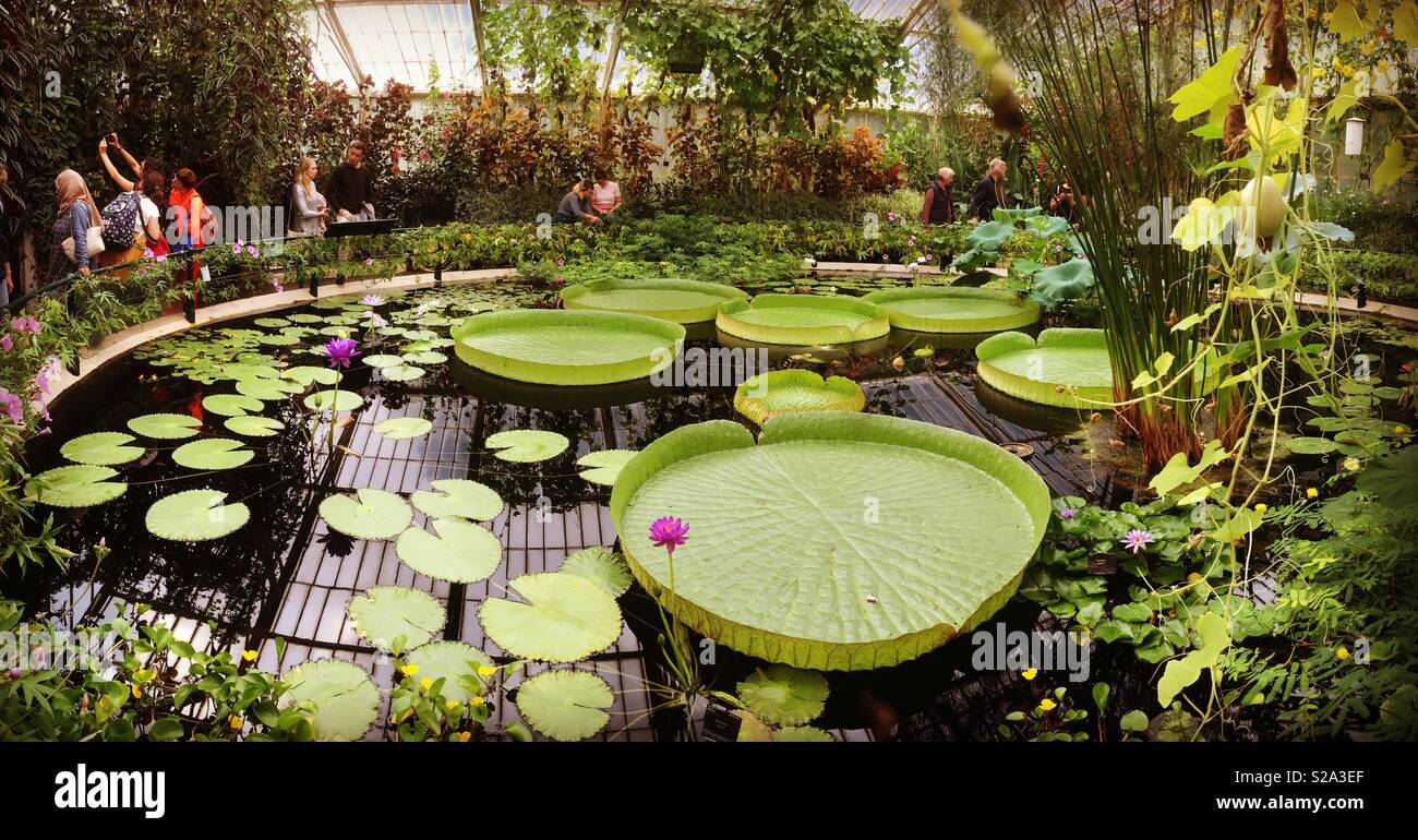 The waterlily house with giant waterlilies in the Royal Botanical Gardens at Kew Garden s, London. UK Stock Photo