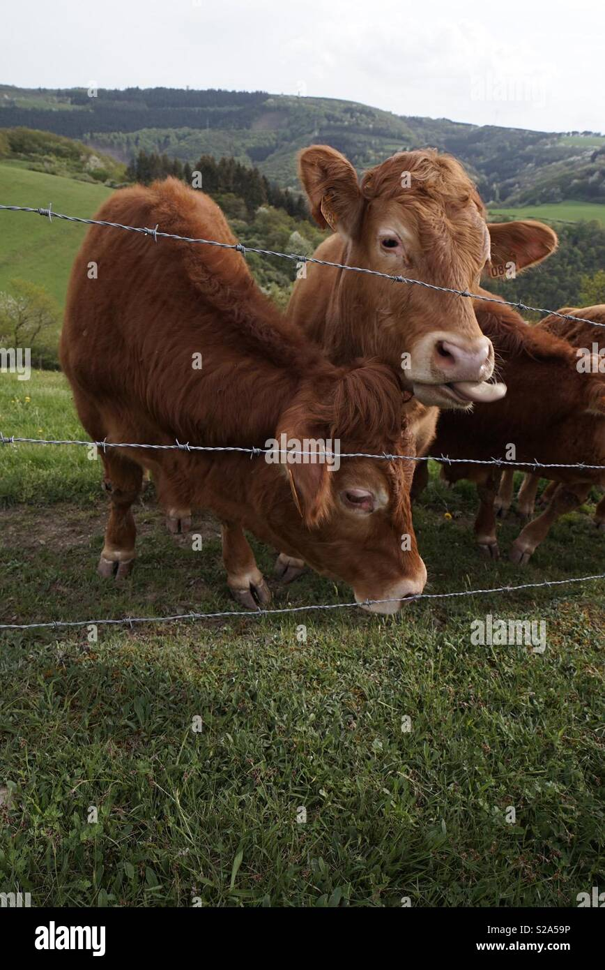 Red Cow on a Field - Stock Image