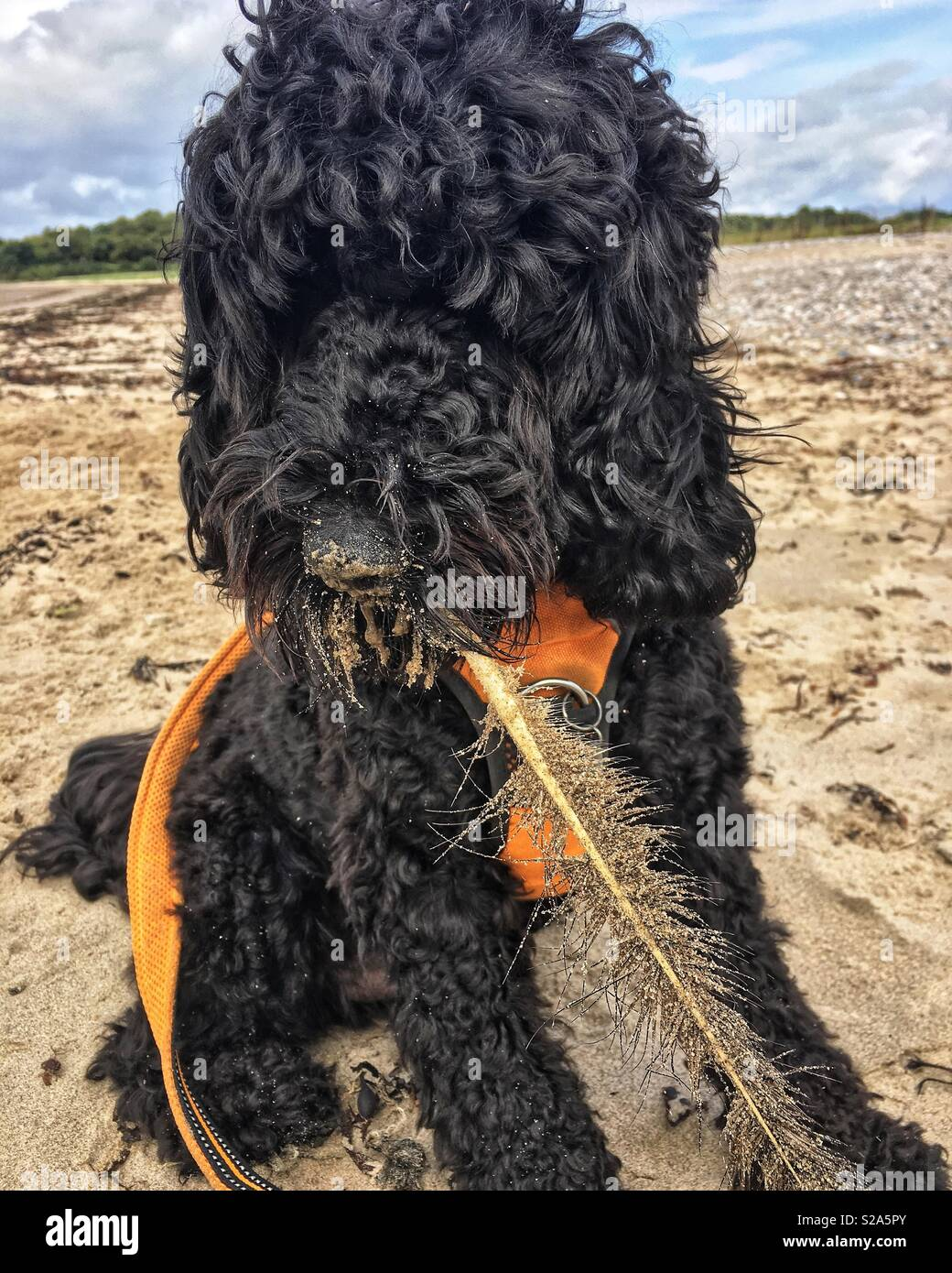 Cockapoo Dog with feather - Stock Image