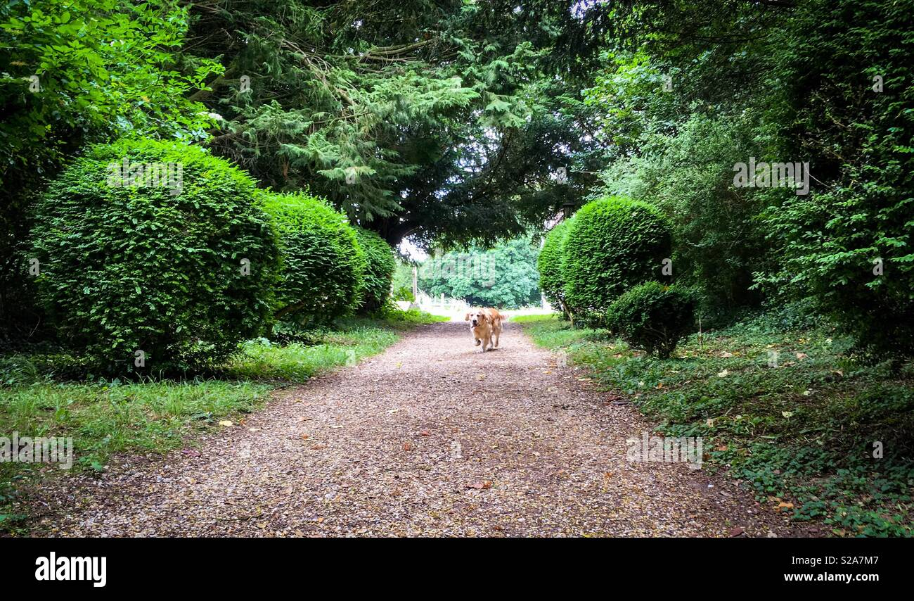 Two golden retrievers walking down a gravel track with trees on both sides - Stock Image