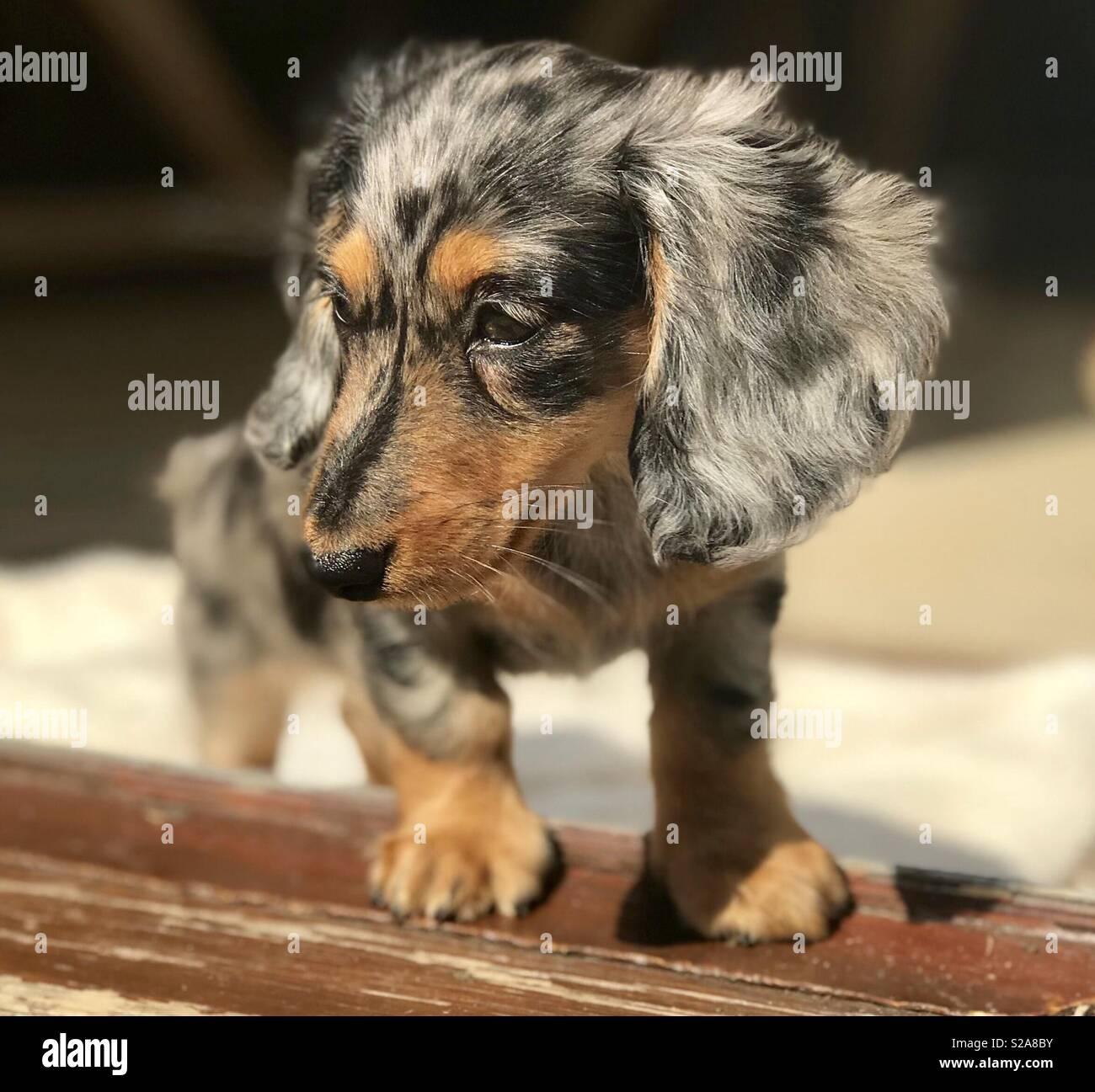 Dapple Dachshund - Stock Image