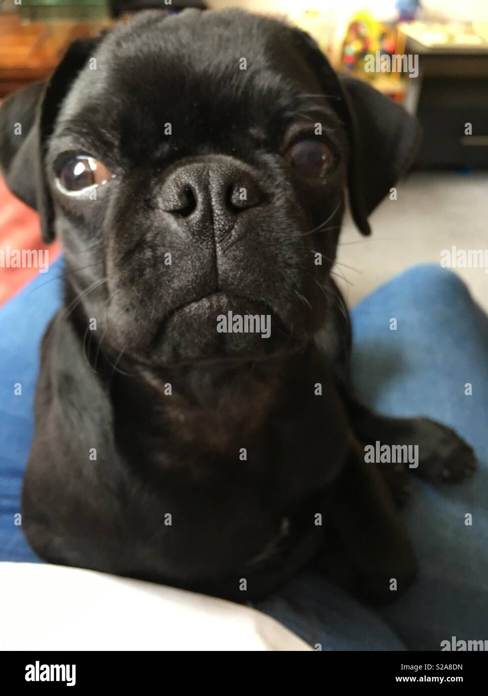 Dave the Pug. Look at that face - Stock Image