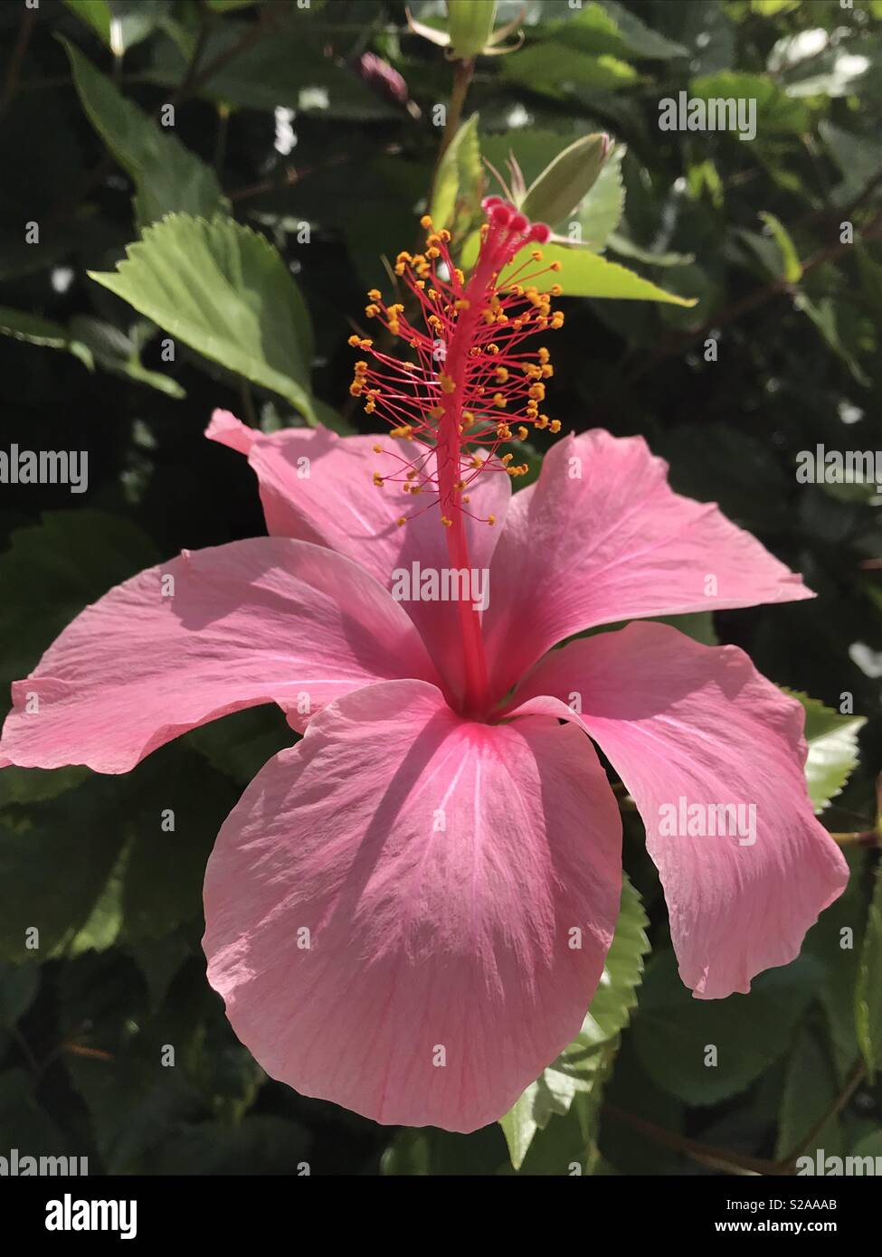 Pink Hibiscus Flower Stock Photos Pink Hibiscus Flower Stock