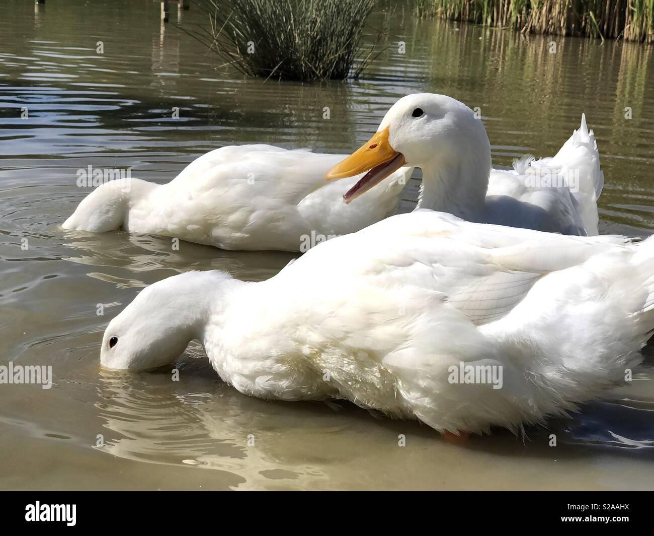 Quacking pekin duck and friends - Stock Image