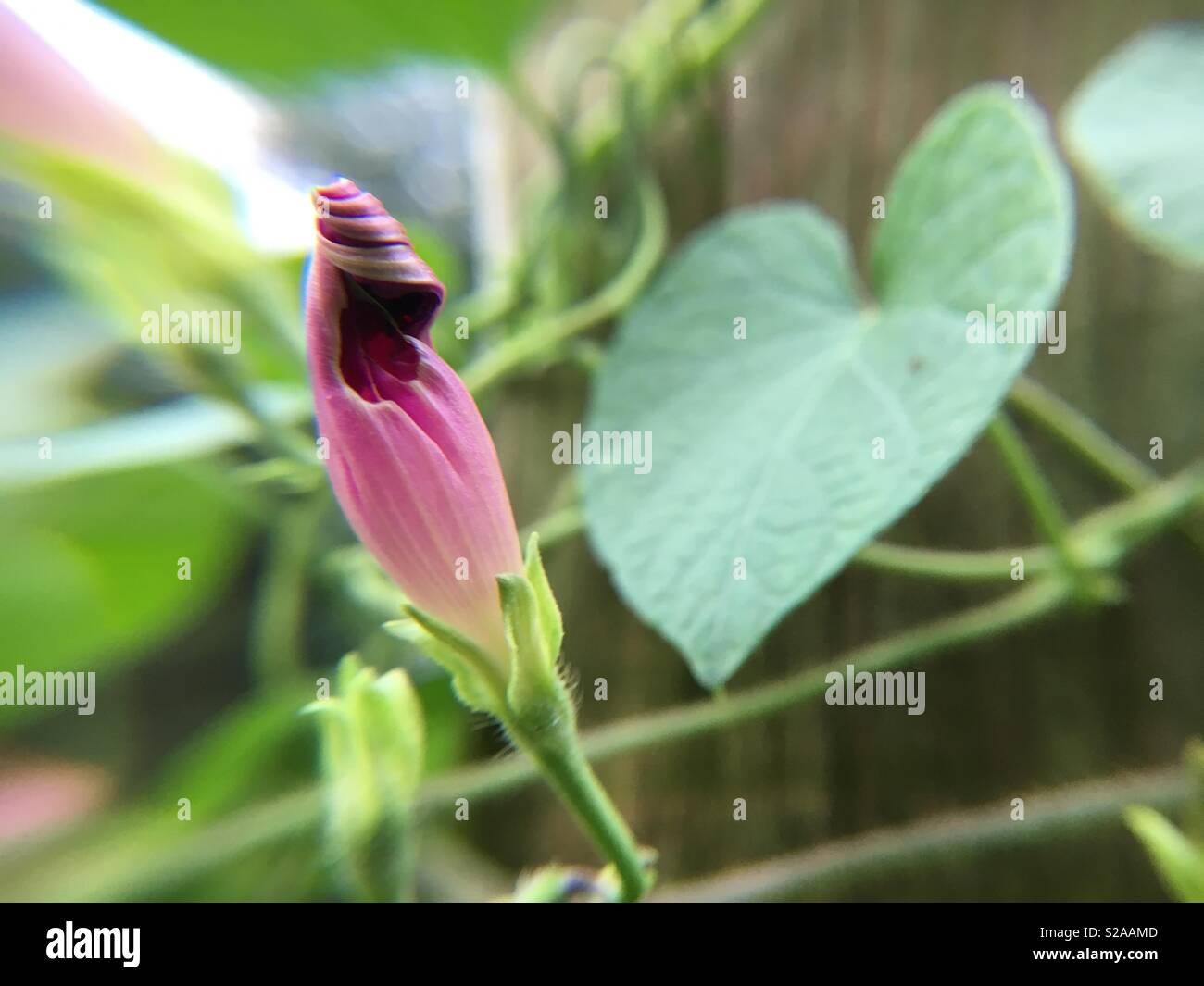 Heart Shaped Pink Flower Stock Photos Heart Shaped Pink Flower