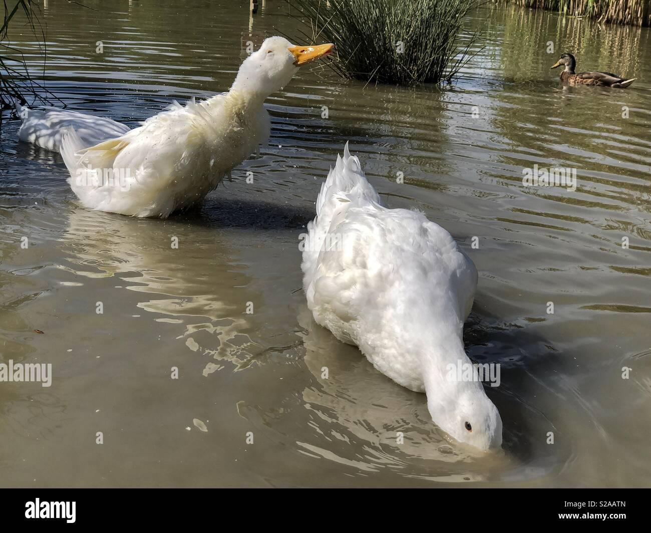 Pekin or Aylesbury heavy duck shaking water off her feathers - Stock Image