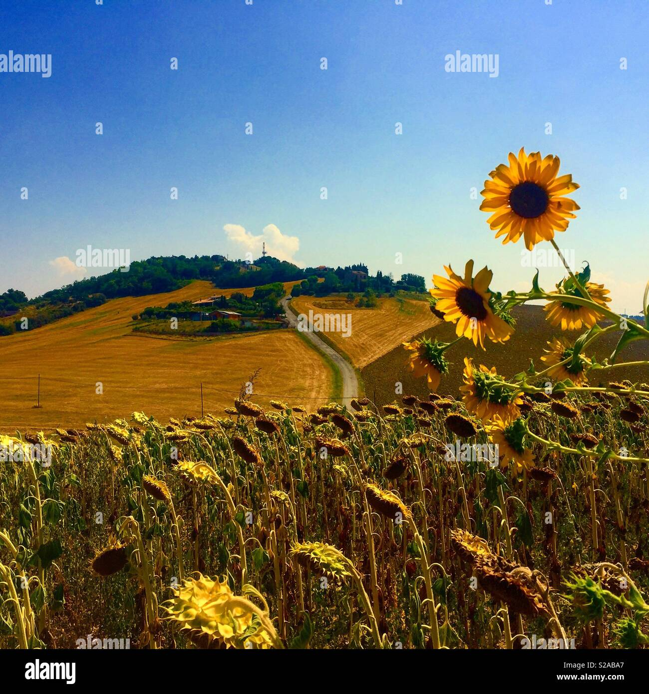 Italian Landscape With Sunflowers Marche Italy Stock Photo