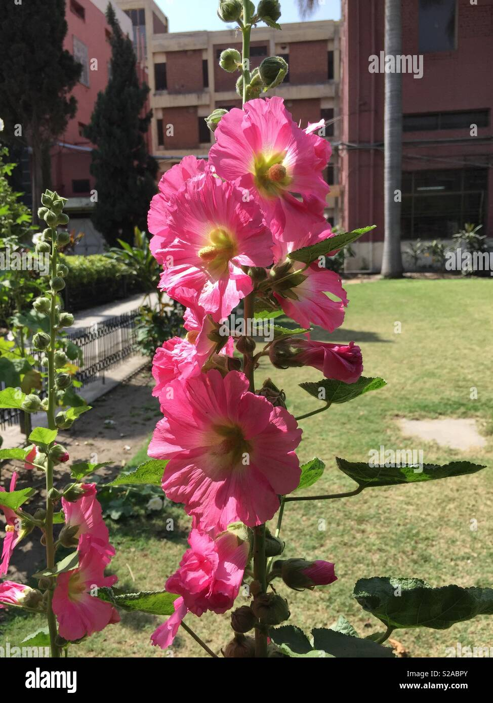 Tall pink flower plant with lawn in the background stock photo tall pink flower plant with lawn in the background mightylinksfo