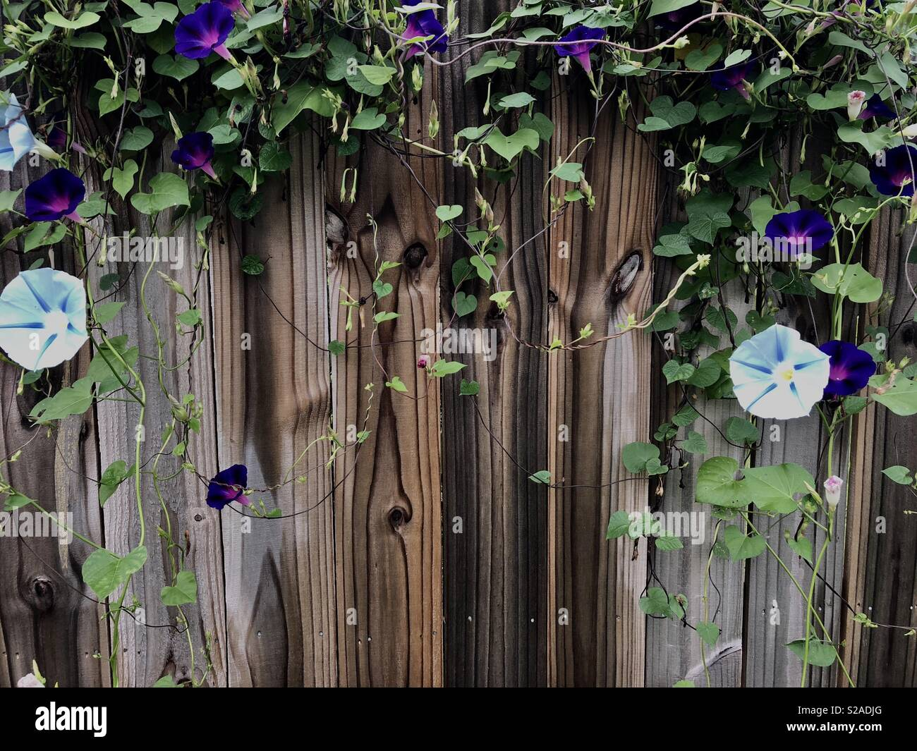 Morning glories spilling over a wooden fence - Stock Image