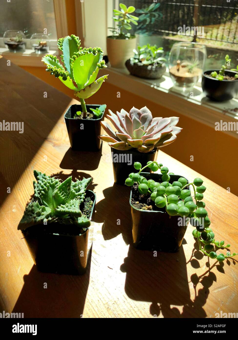 Succulent Plants High Resolution Stock Photography And Images Alamy