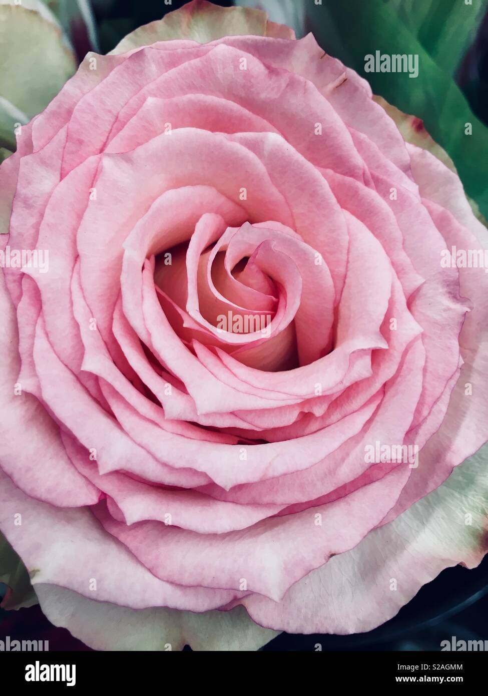 Gorgeous Full Bloom Pale Pink Rose Stock Photo 311248580 Alamy