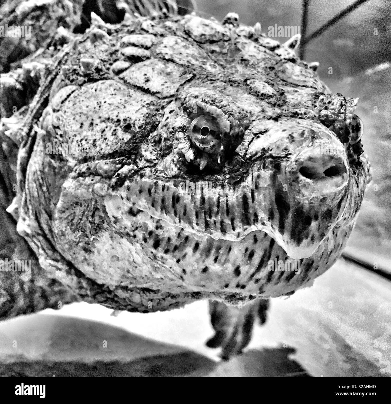Florida Snapping Turtle closeup - Stock Image