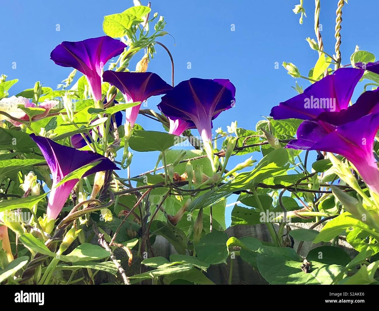 Morning glories - Stock Image
