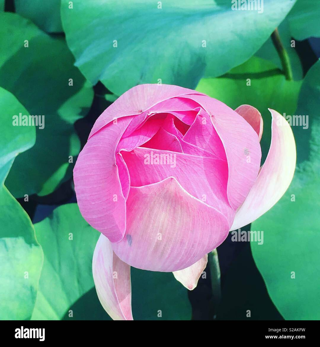 Magnifique open flower lotus flower stock photo 311250797 alamy magnifique open flower lotus flower izmirmasajfo