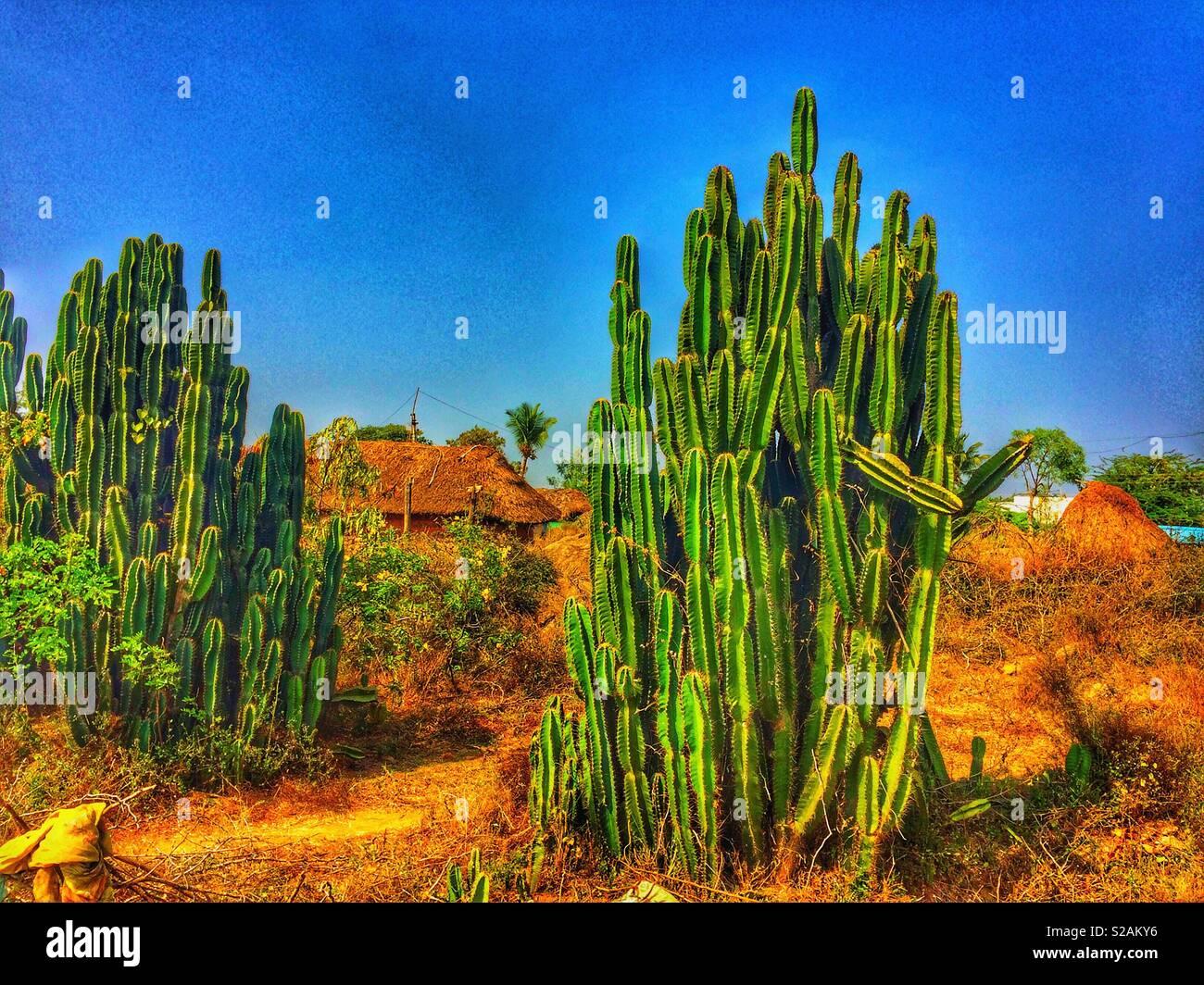 Cactuses in Indian savanah, Tiruvannamalai, India - Stock Image
