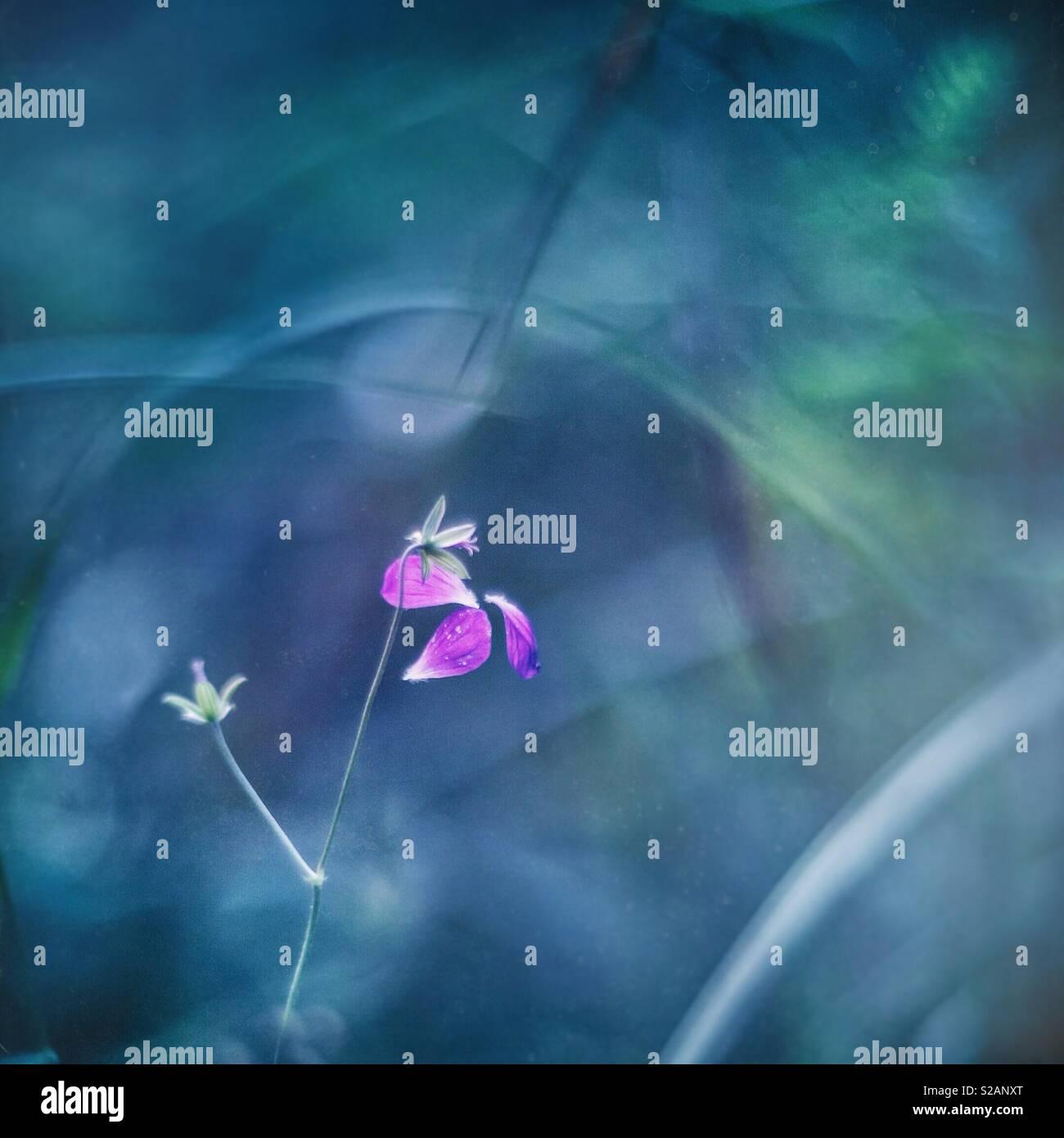Falling petals - Stock Image
