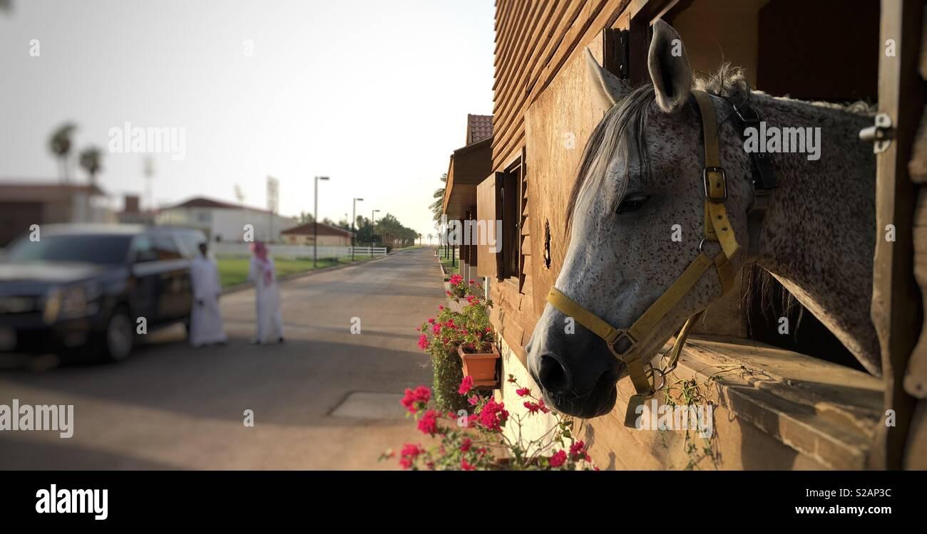 Beautiful Arabian Horse At Stables In Saudi Arabia Stock Photo Alamy