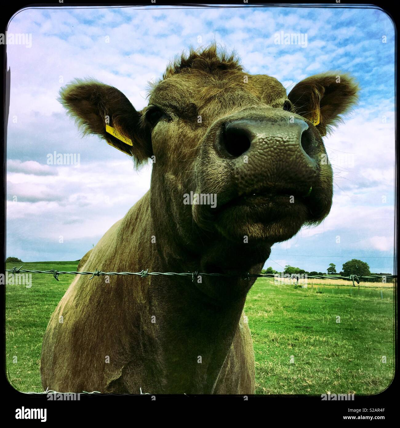 Inquisitive cow. Lincolnshire, UK. Stock Photo