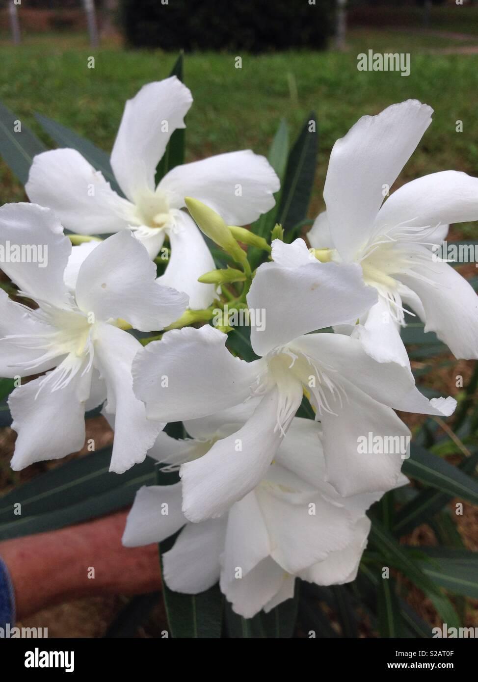 White Oleander Flower Stock Photos White Oleander Flower Stock