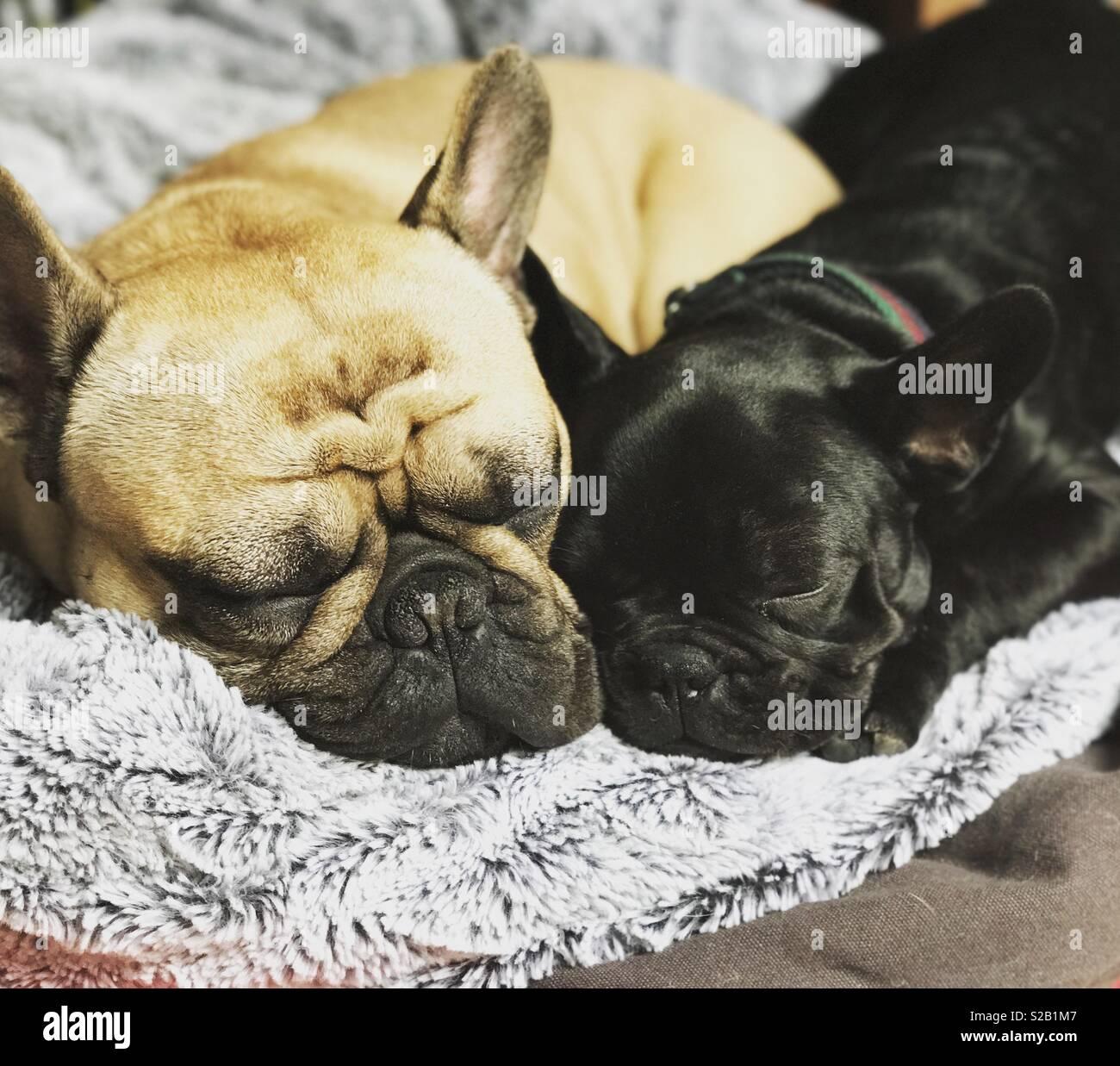 Sleeping frenchies - Stock Image