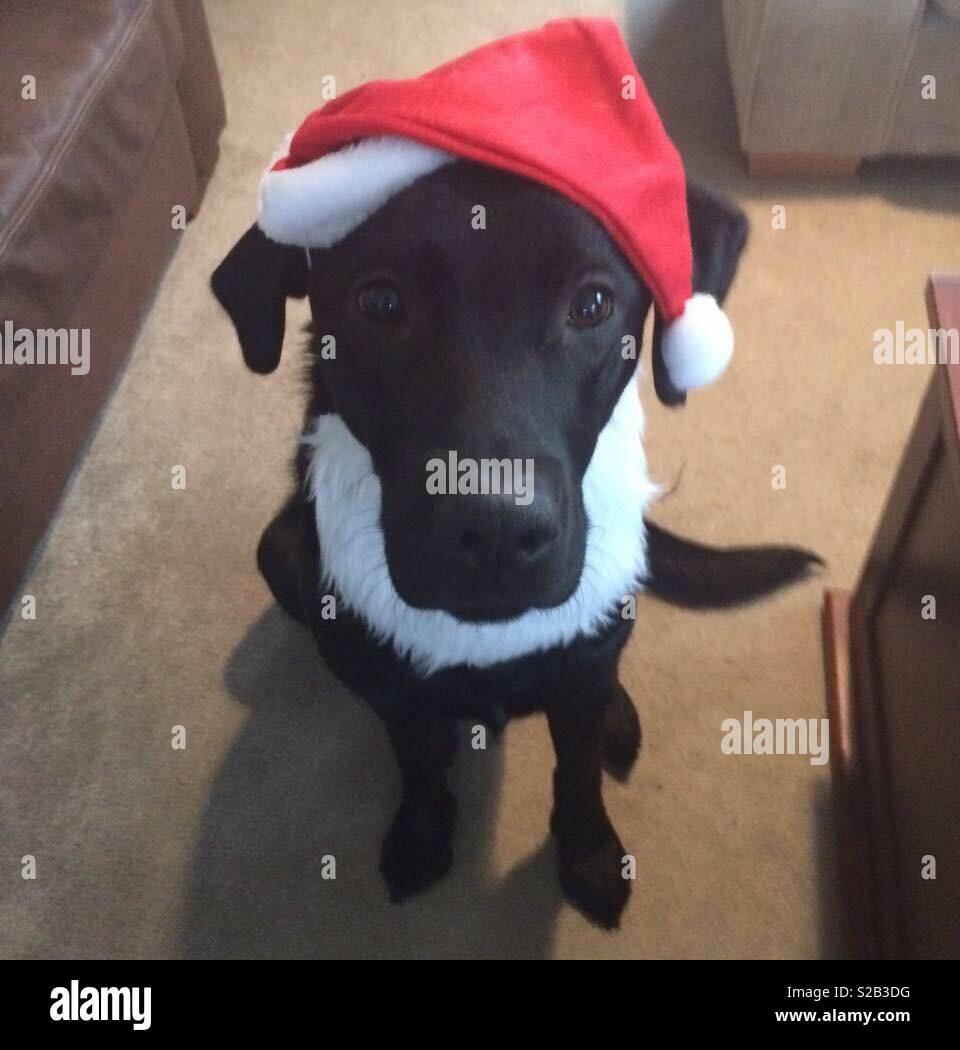 bfc37d0403b4e Labrador in a santa hat and beard Christmas dog Stock Photo ...