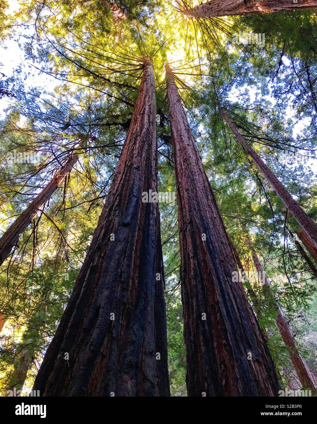Redwoods skyhigh - Stock Image