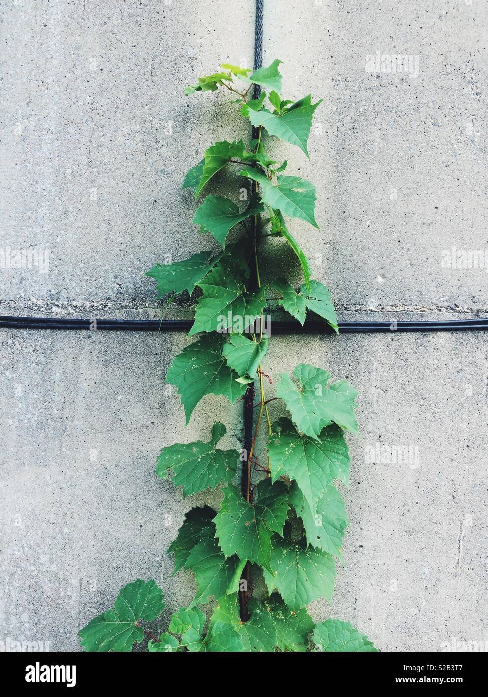 Green ivy growing against steel and concrete. - Stock Image