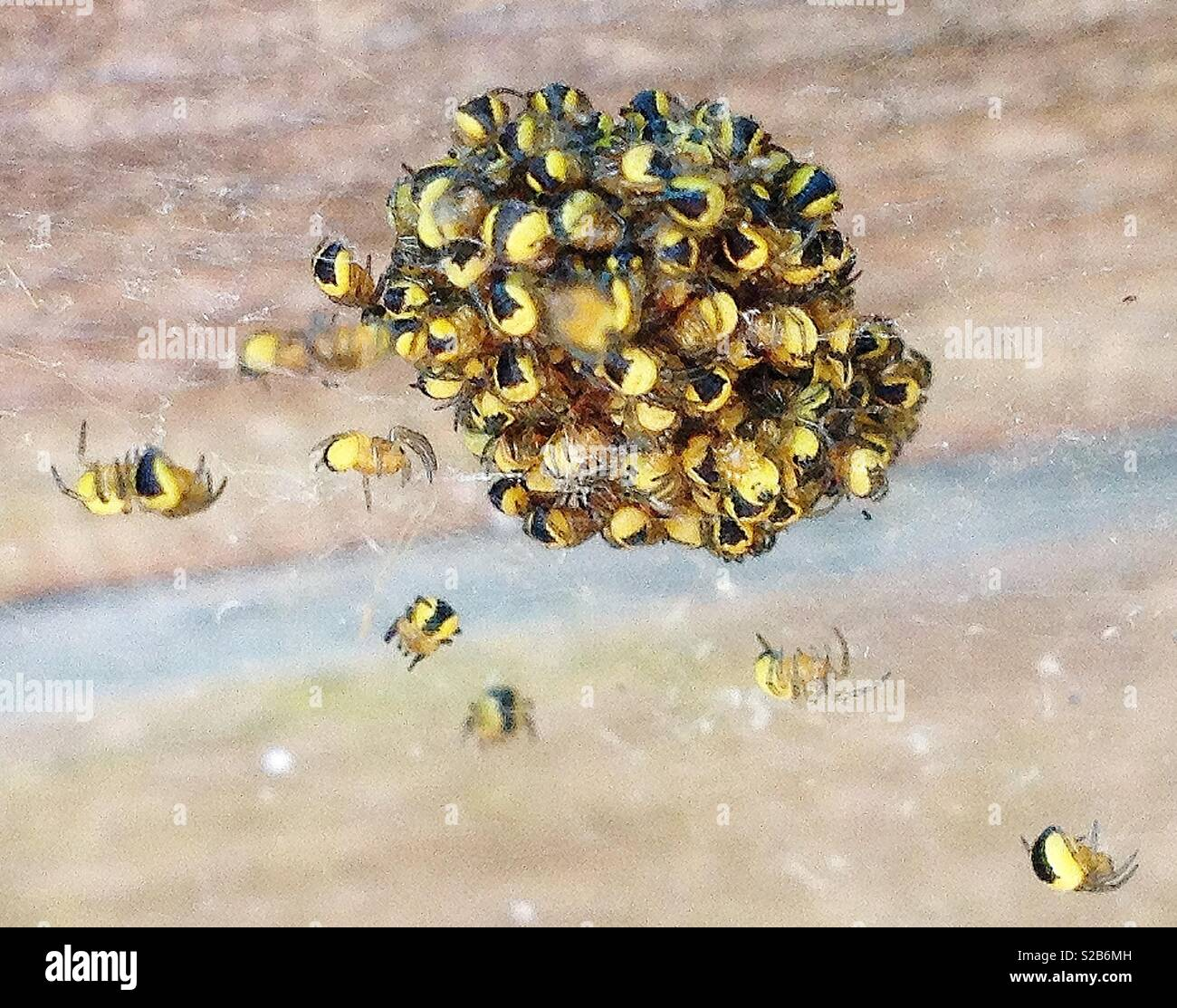 Garden spiderlings clustered together on a web for protection - Stock Image