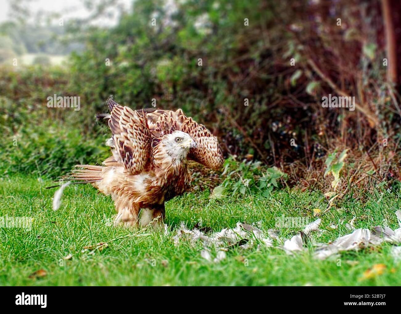 Red Kite (milvus Milvus) landing on grass. - Stock Image