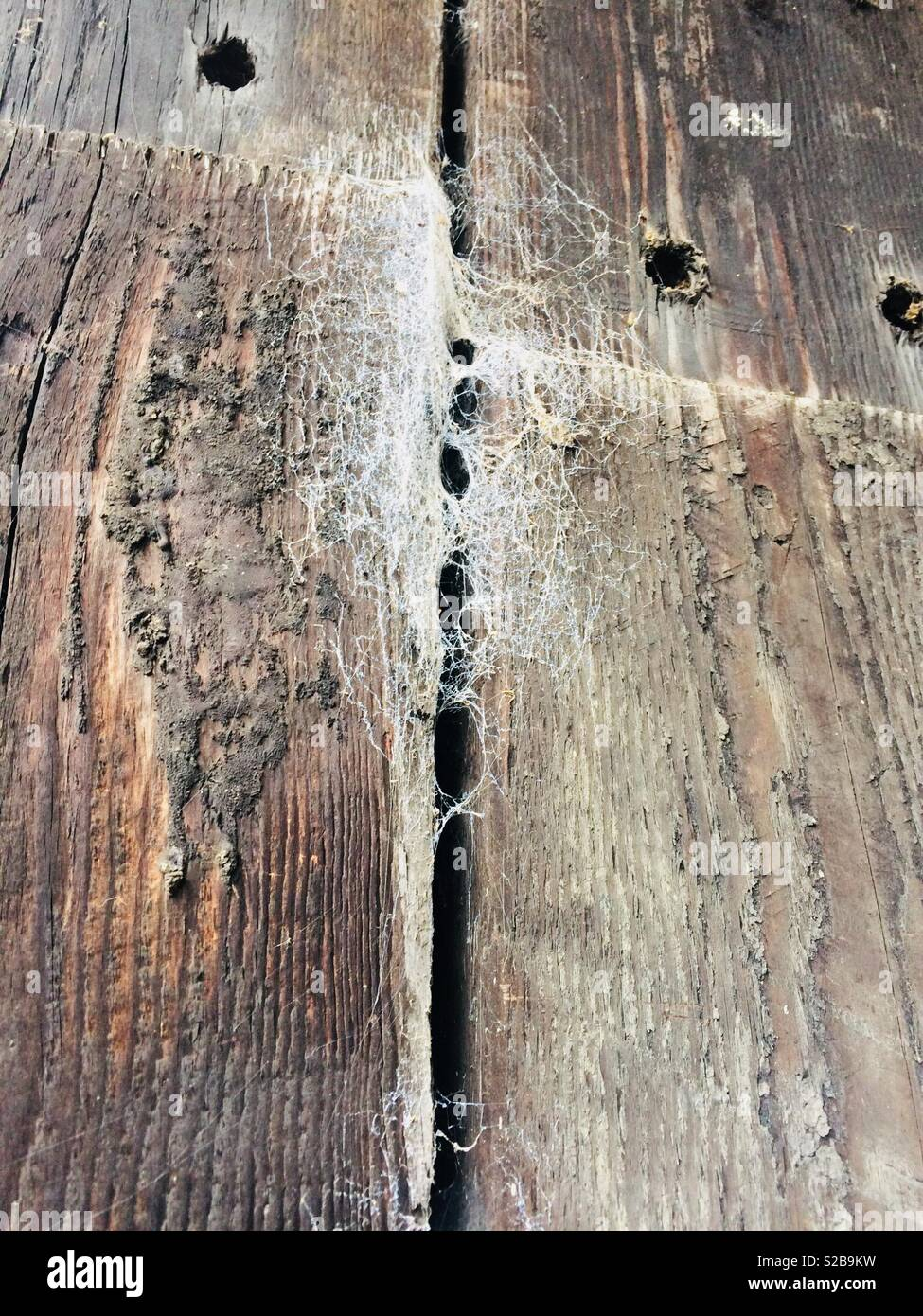 Funnel web spiders webs in an old barn - Stock Image