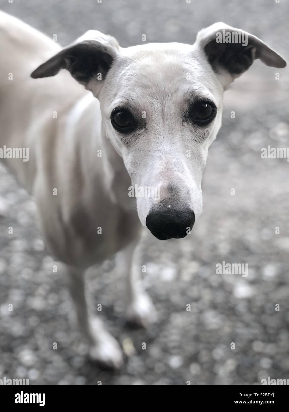 3f0cf126b4b19 Cute Whippet dog portrait Stock Photo  311268374 - Alamy