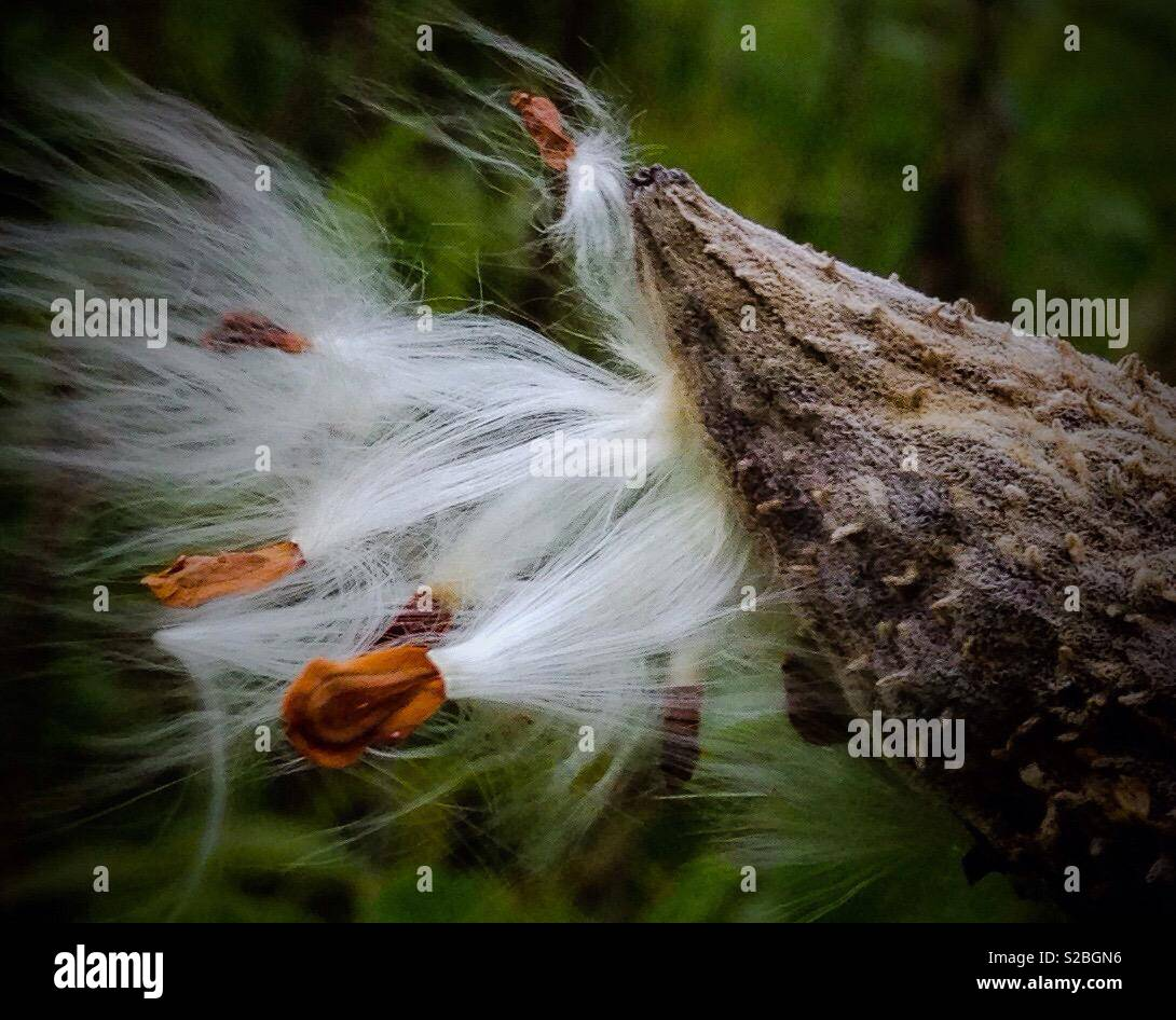 Vivid photo of milkweed seed pod with seeds and fluff - Stock Image