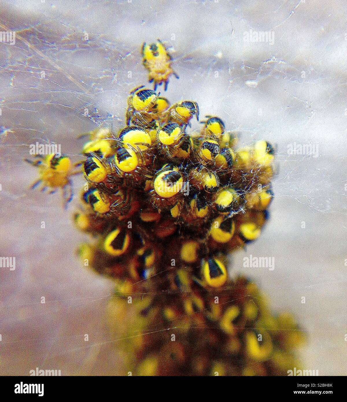 Garden spiderlings clustering together on a web for protection - Stock Image