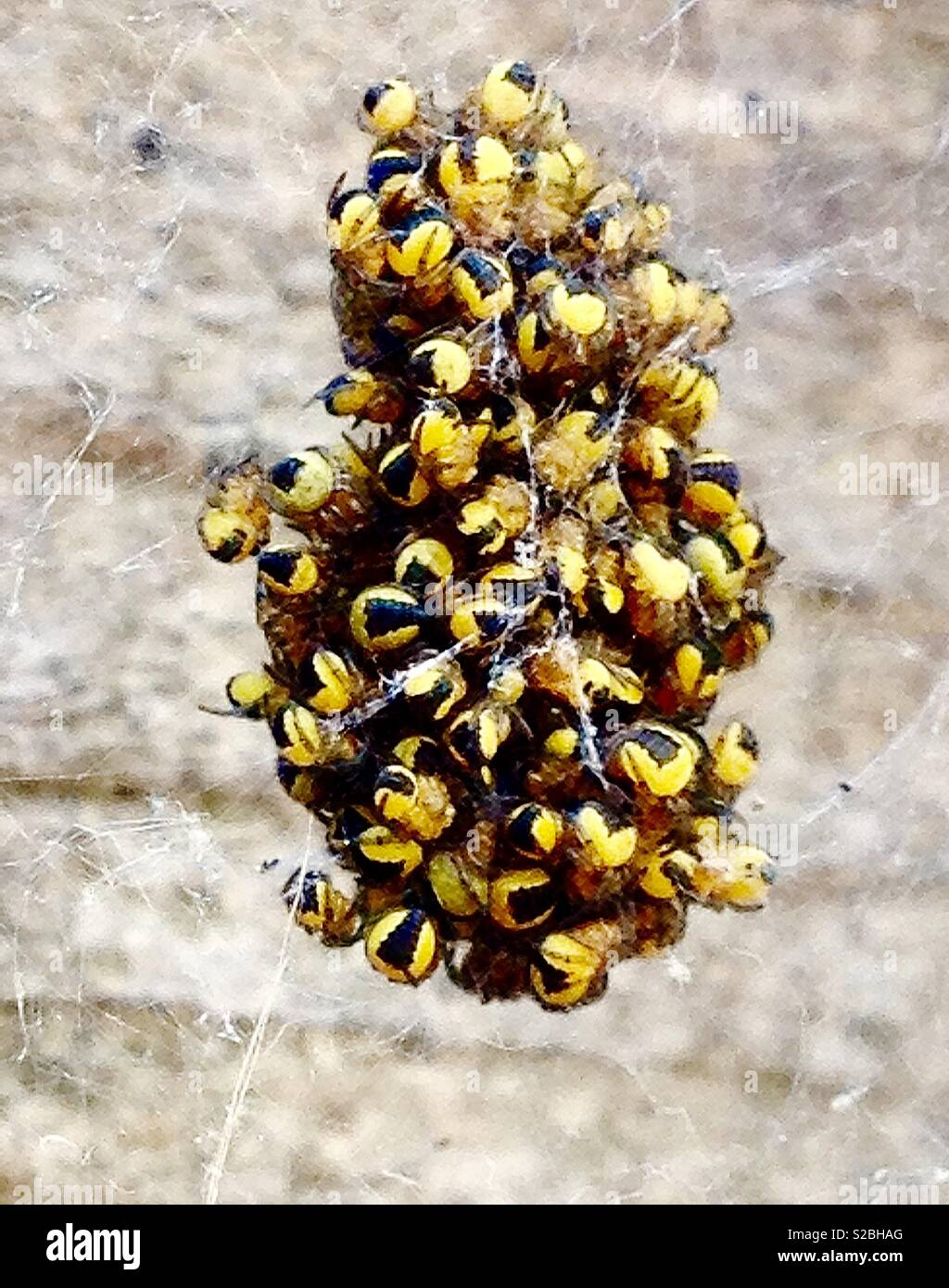 Young Garden spiderlings huddling together on a web for protection from predators - Stock Image