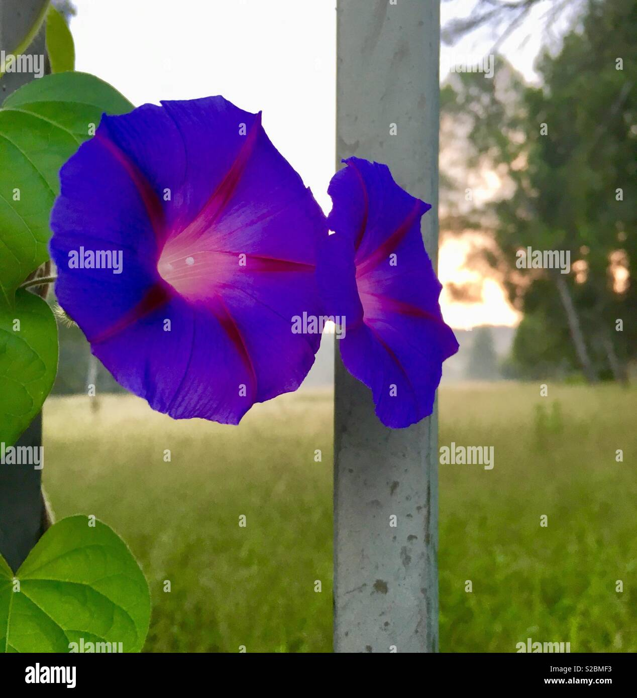 Morning glories captured with some beautiful sunrise lighting. - Stock Image