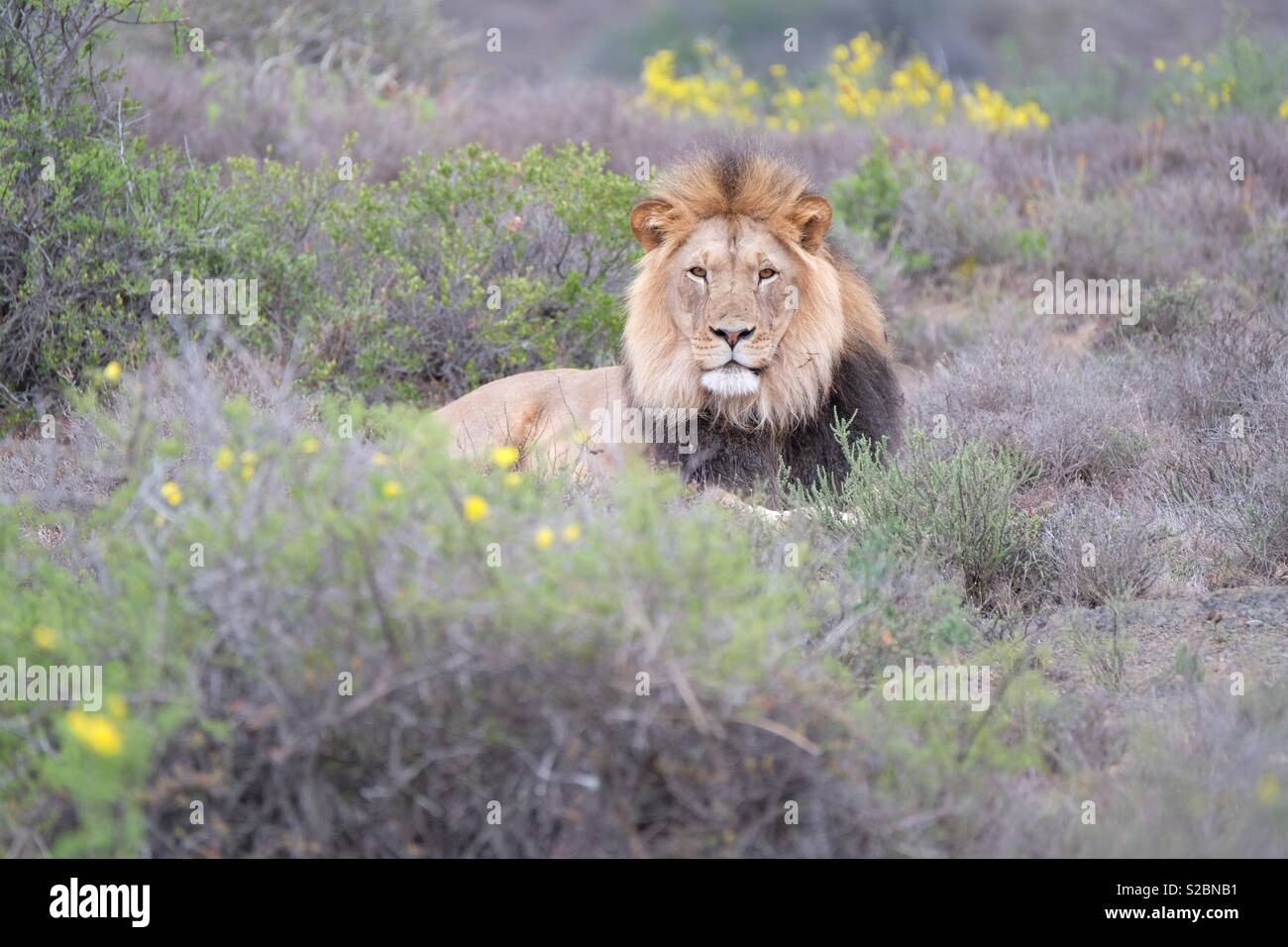 Sylvester the lion - Stock Image