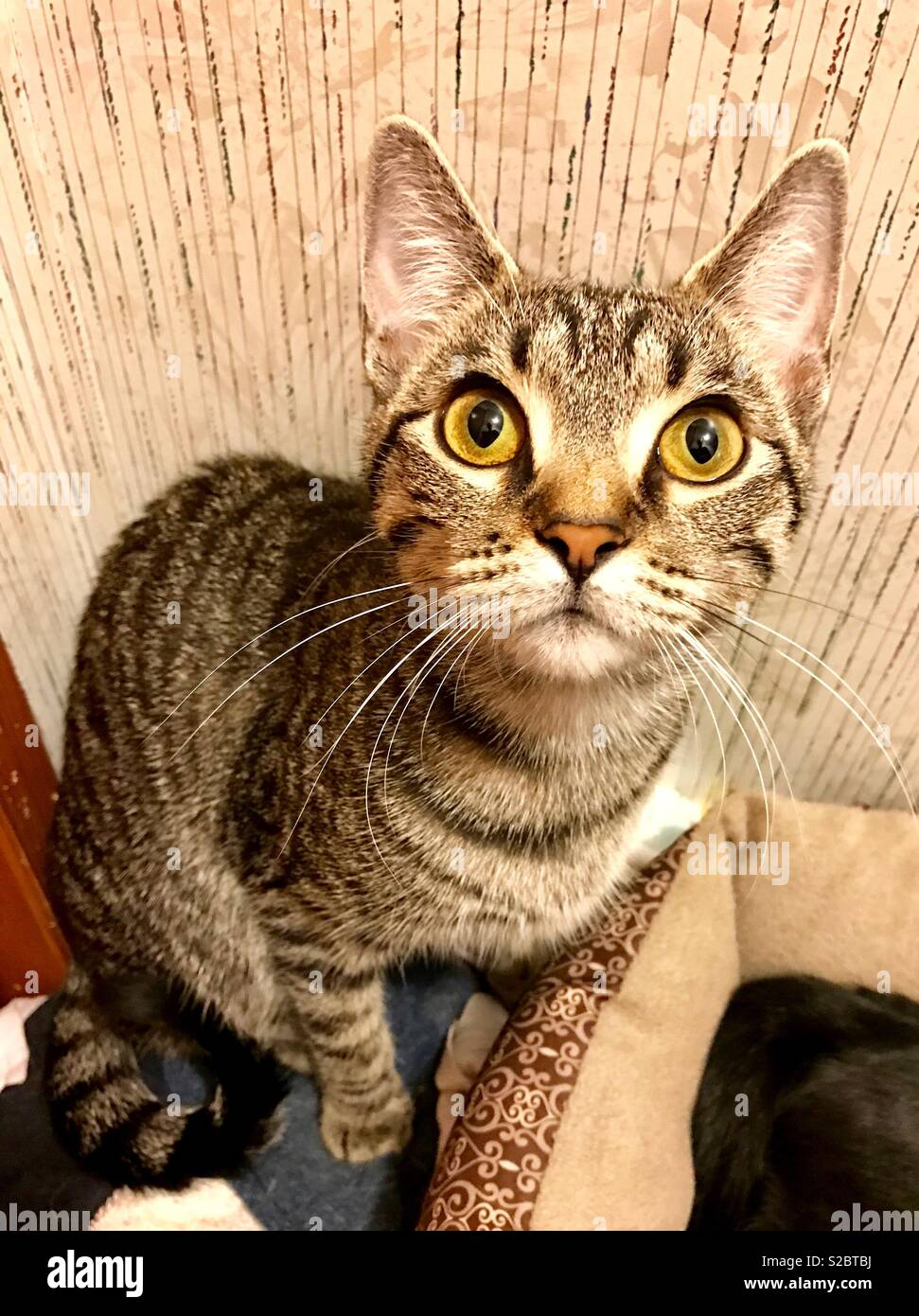 Portrait Of Beautiful Gold Eyed Domestic Shorthair Tabby Cat Stock Photo Alamy
