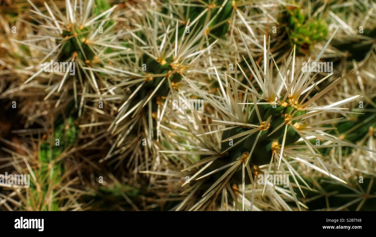 Detail of cactus thorns, looking sharp and pointy - Stock Image