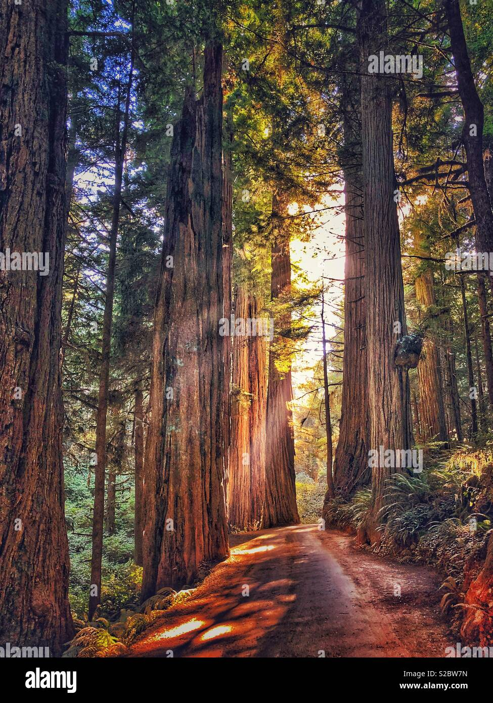 Road through the redwoods. - Stock Image